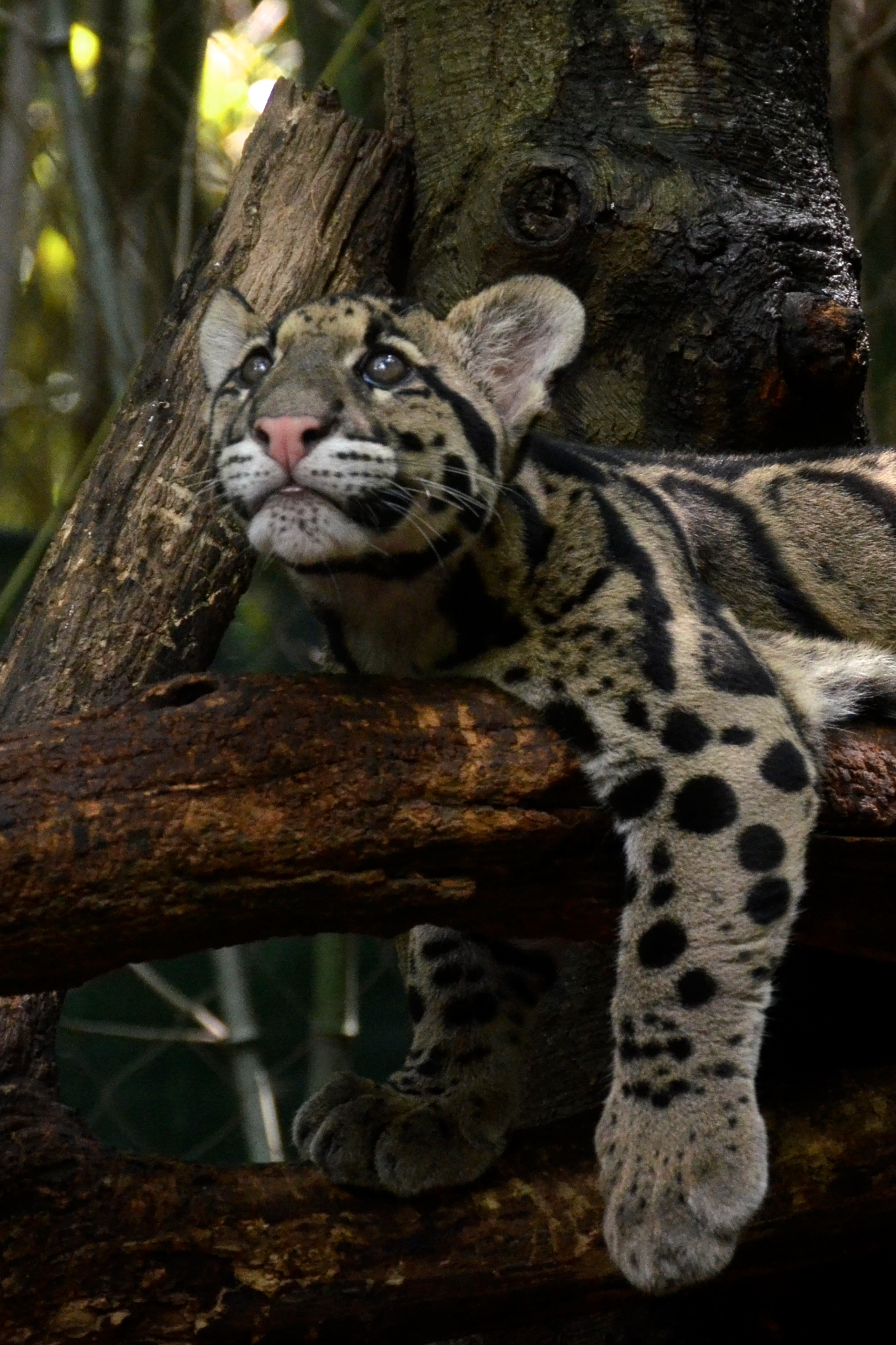 file clouded leopard cub hanging on the branch 1 jpg wikimedia