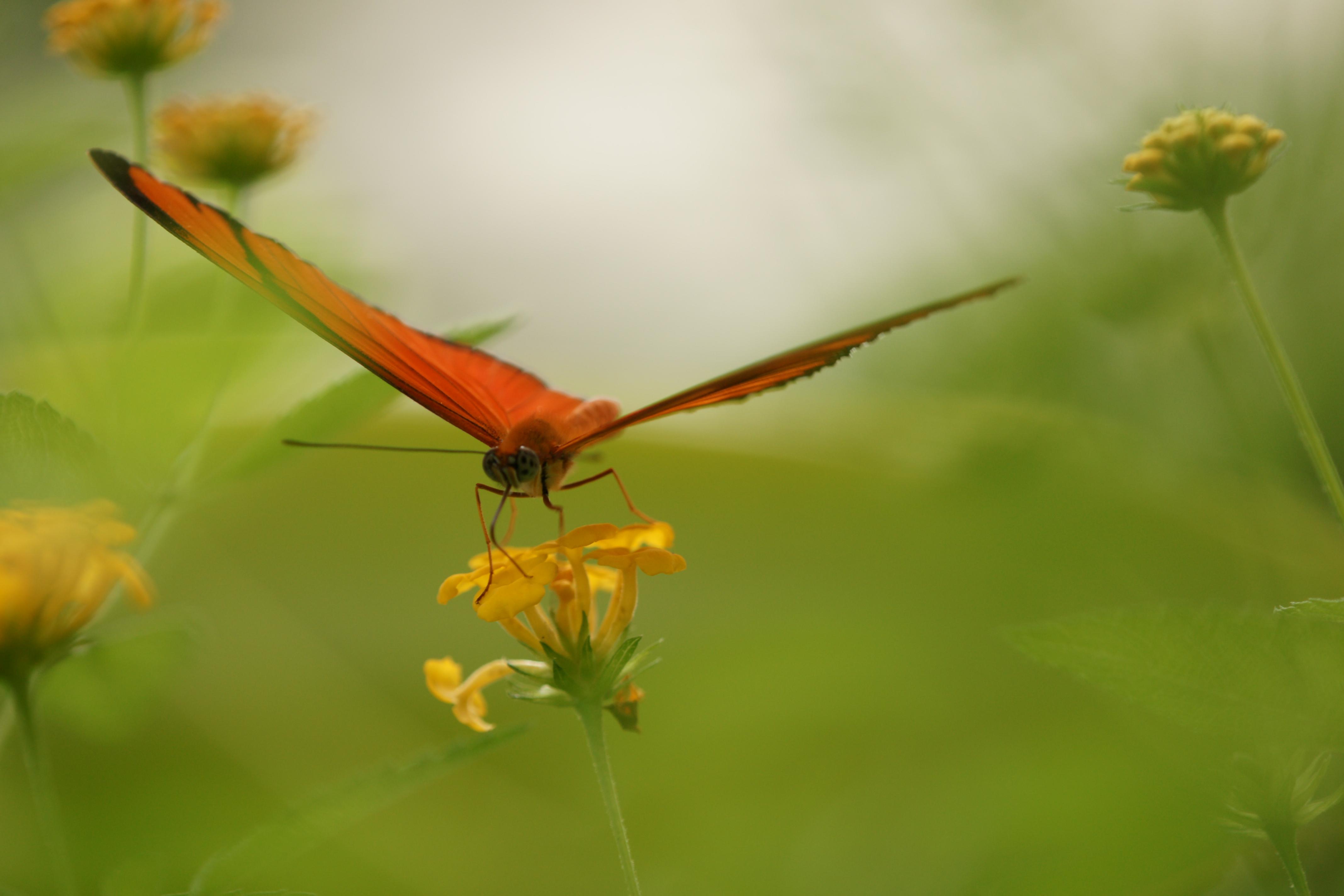 Julia Dryas Butterfly