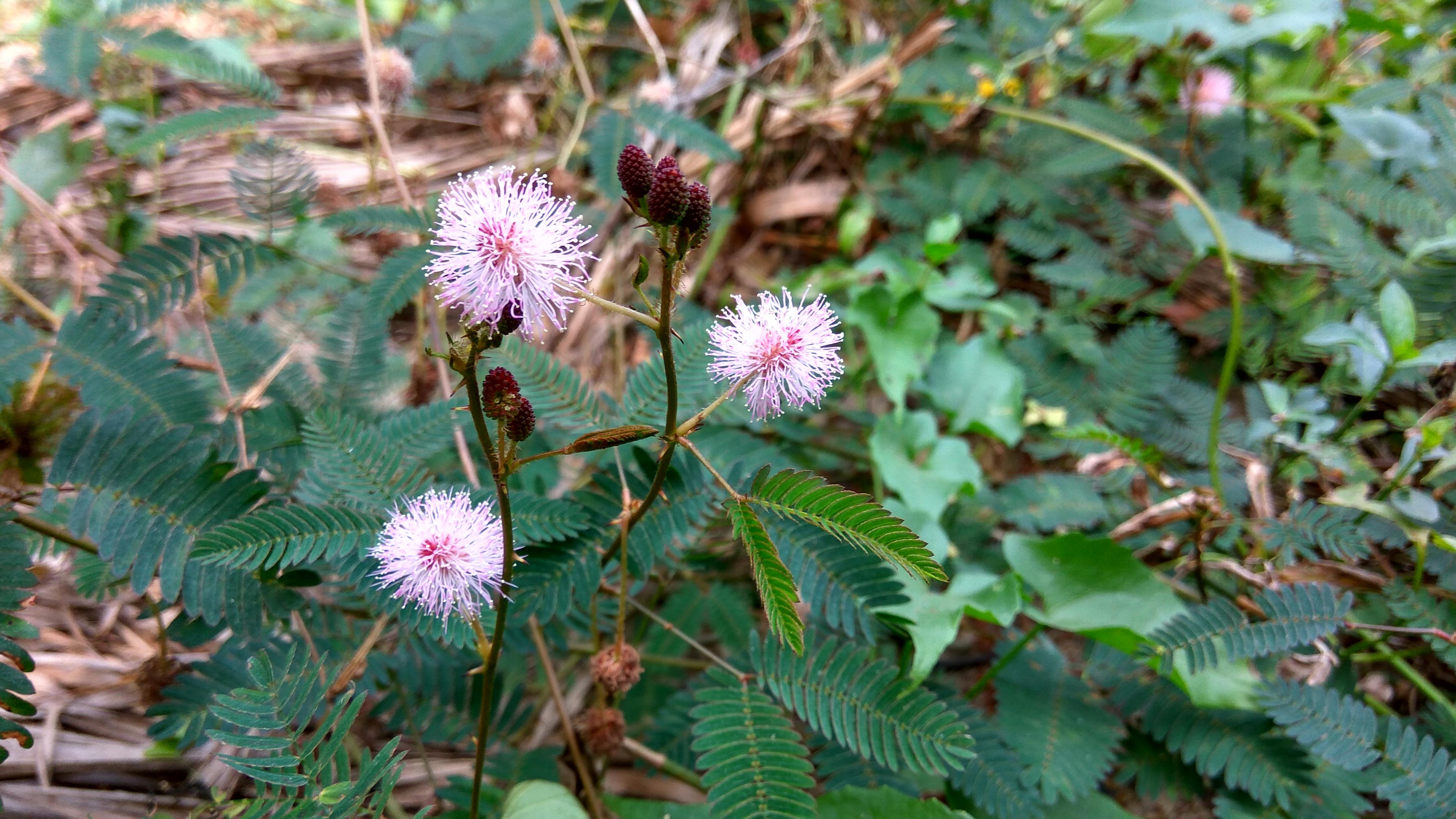 File Flowers Of Bangladesh 19 Jpg Wikimedia Commons