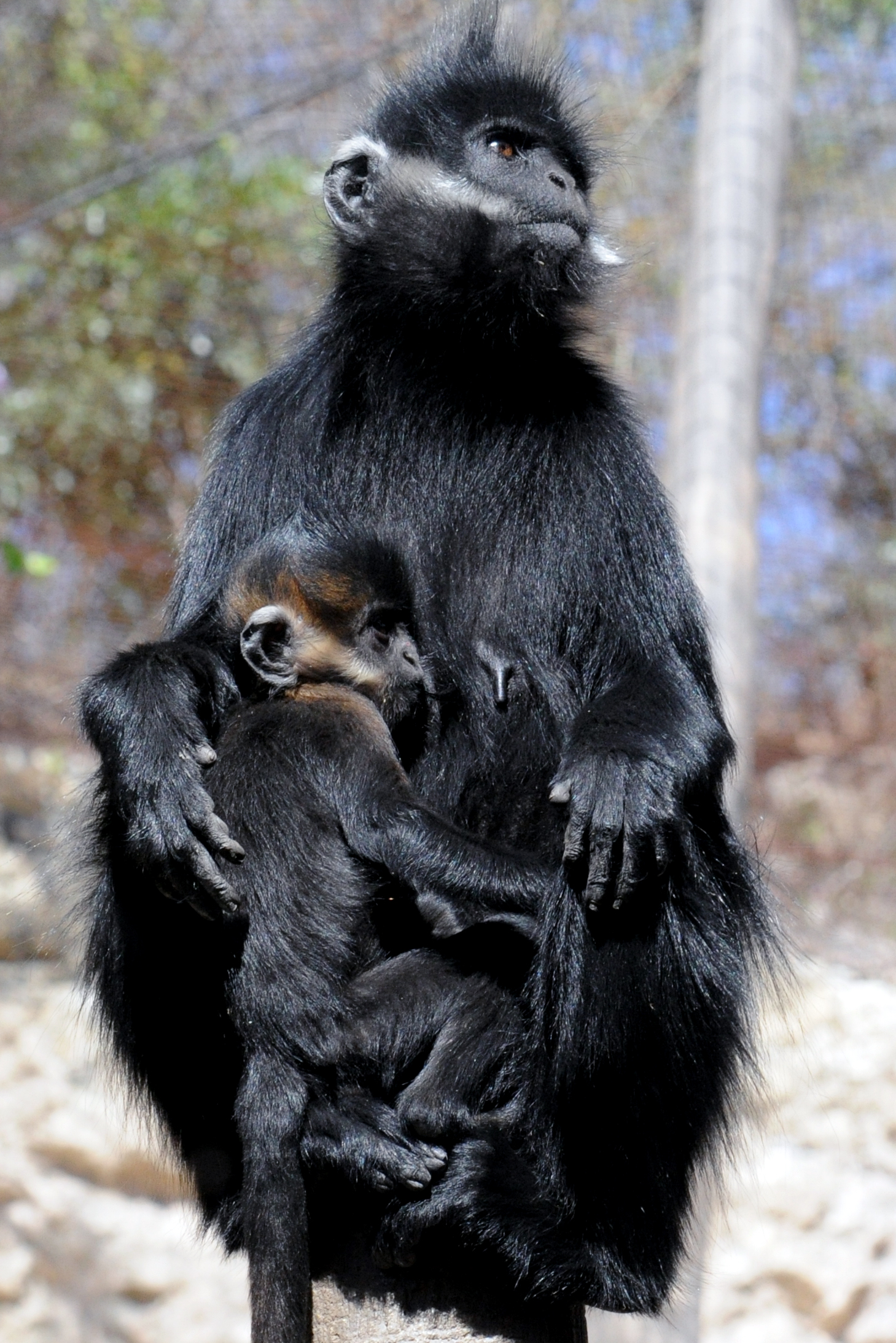 https://upload.wikimedia.org/wikipedia/commons/1/1b/Francois%27_Langur_0938.jpg