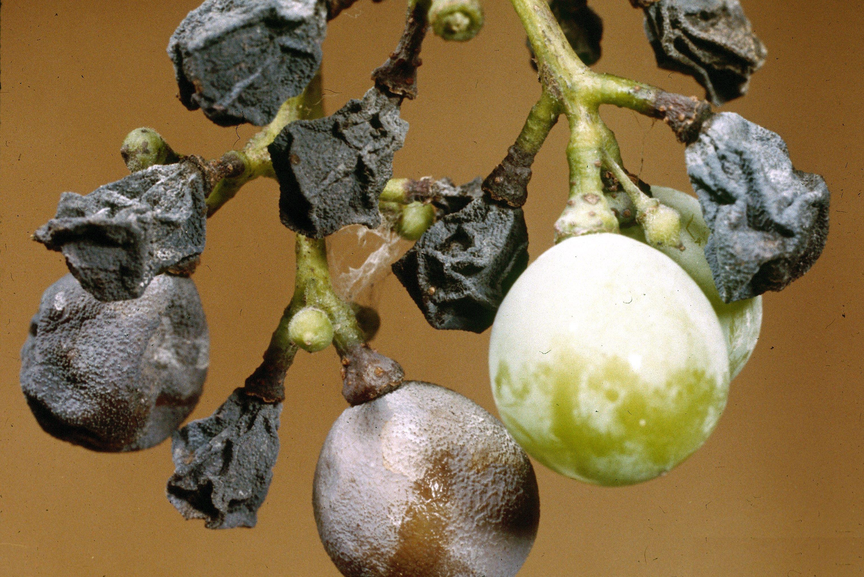 Black Rot of Grape
