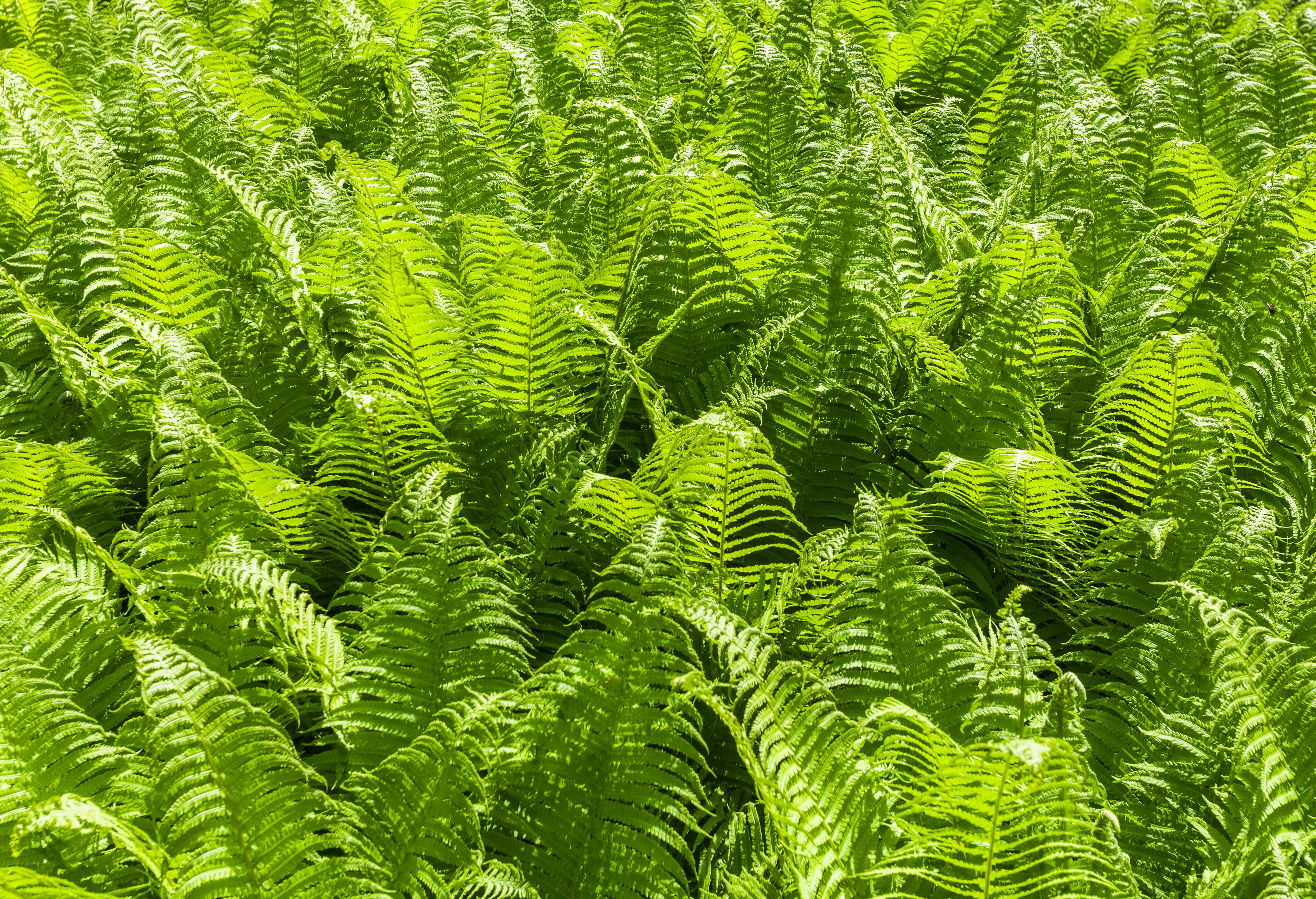 Fichier helecho guila pteridium aquilinum parque adam for Planta ornamental helecho nombre cientifico