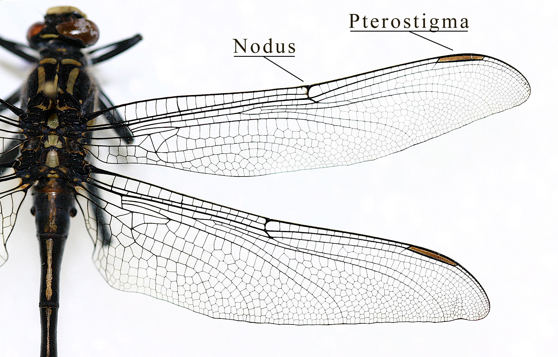 Insect wing - Wikiwand