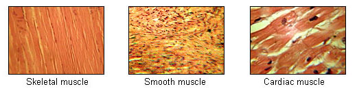 Animal muscle tissue