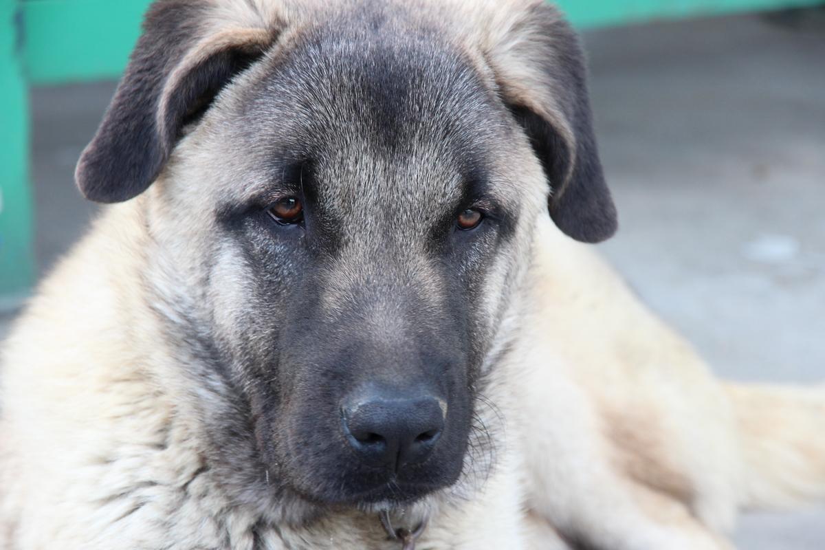 Anatolian Mastiff Picture