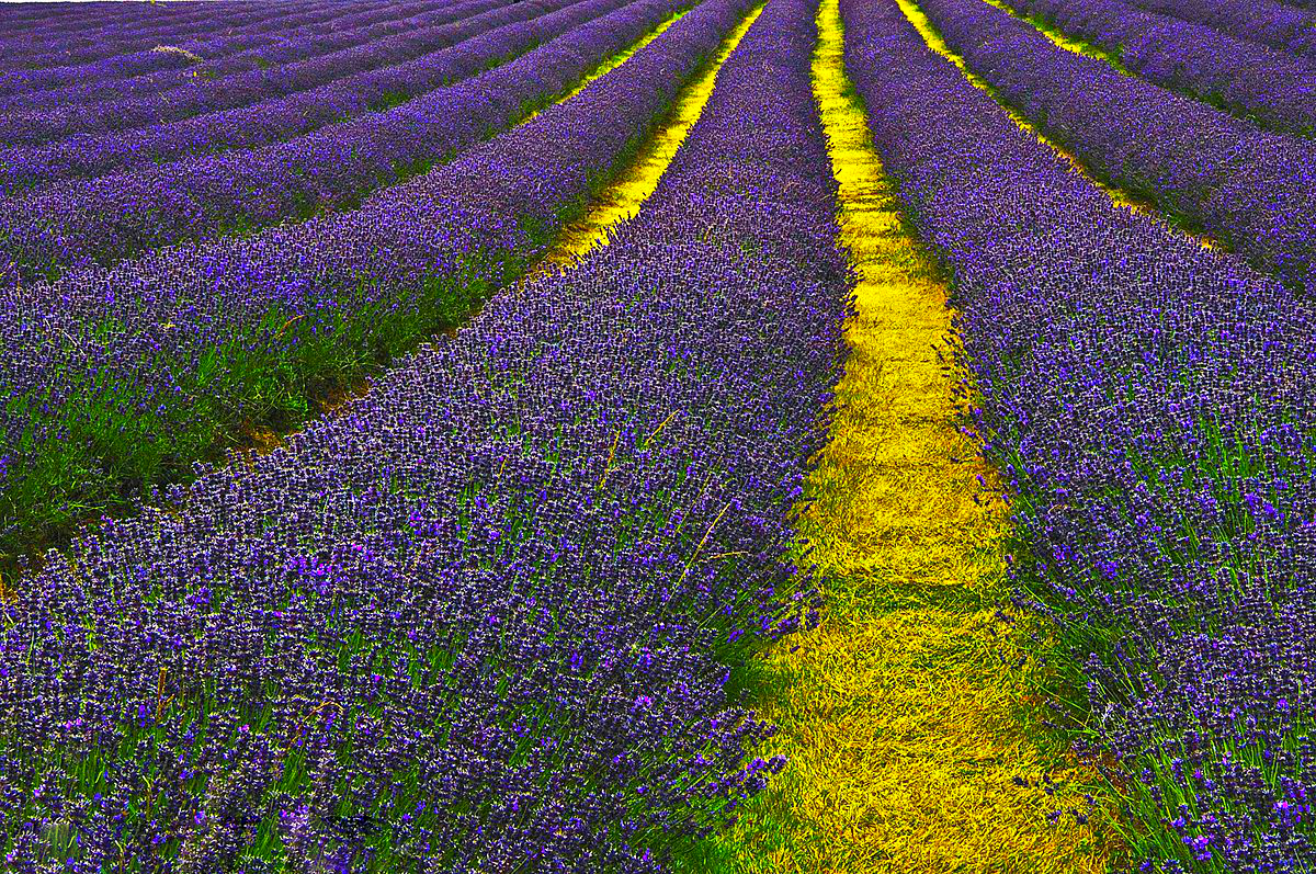 lavender essay How can the answer be improved.