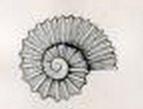 Liotella rotula 001.jpg