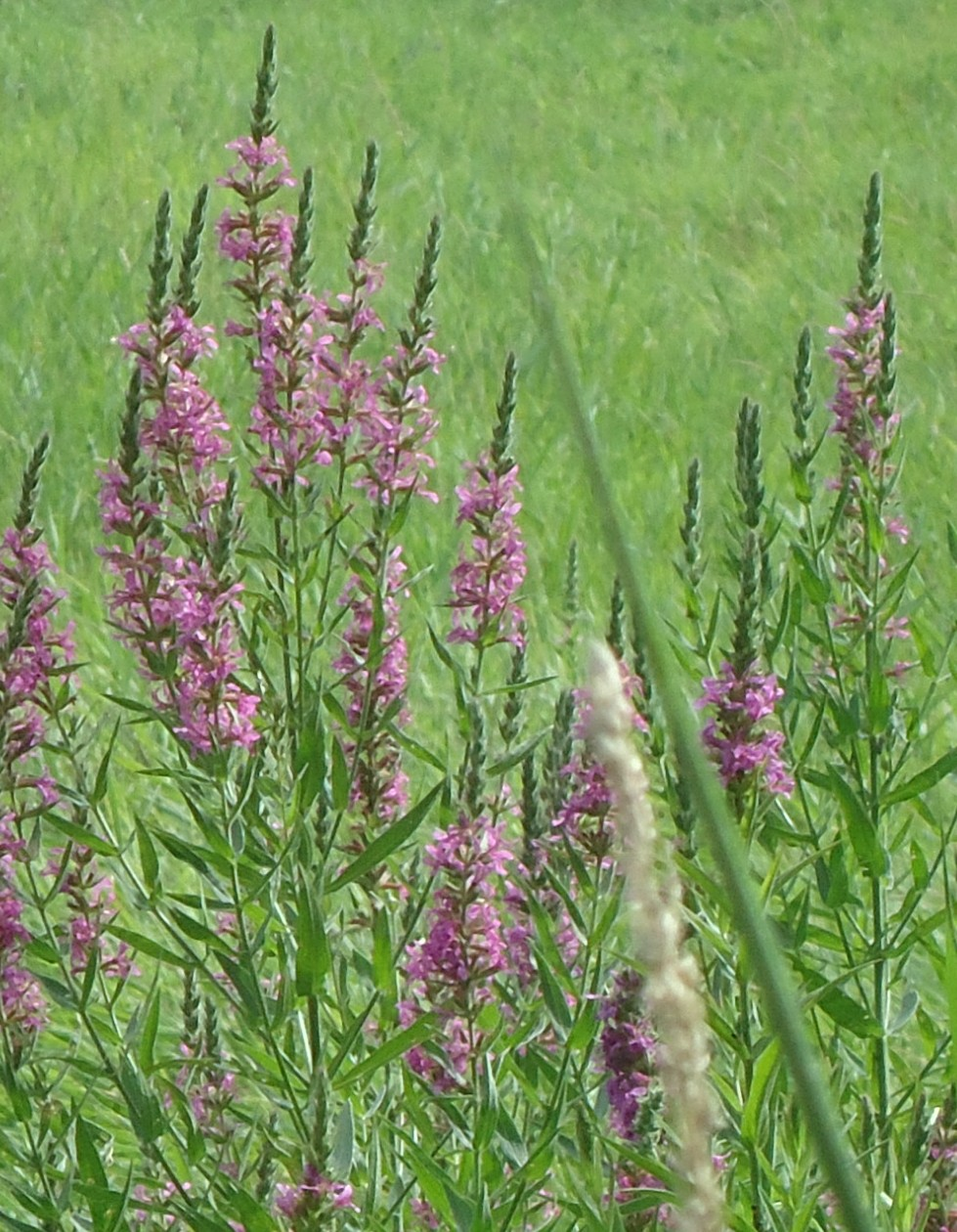 lavender colored wildflowers - photo #39