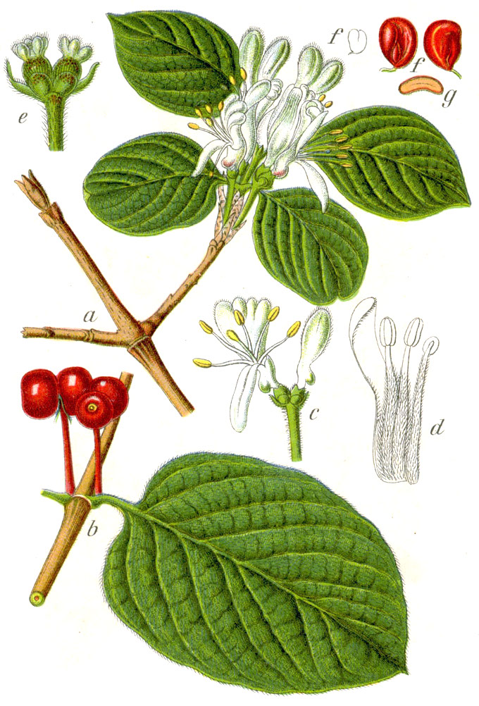 Lonicera xylosteum wikipedia for Bacche rosse nomi