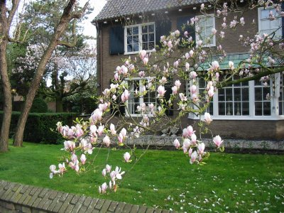 Magnolia,_Alphen_aan_den_Rijn,_april_200