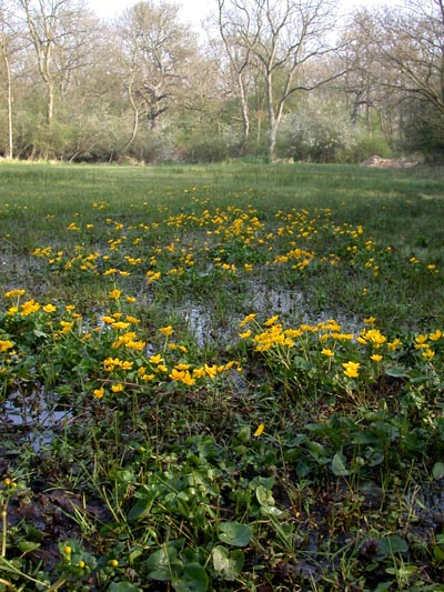 Marsh Marigolds at Castor Hanglands - geograph.org.uk - 66319