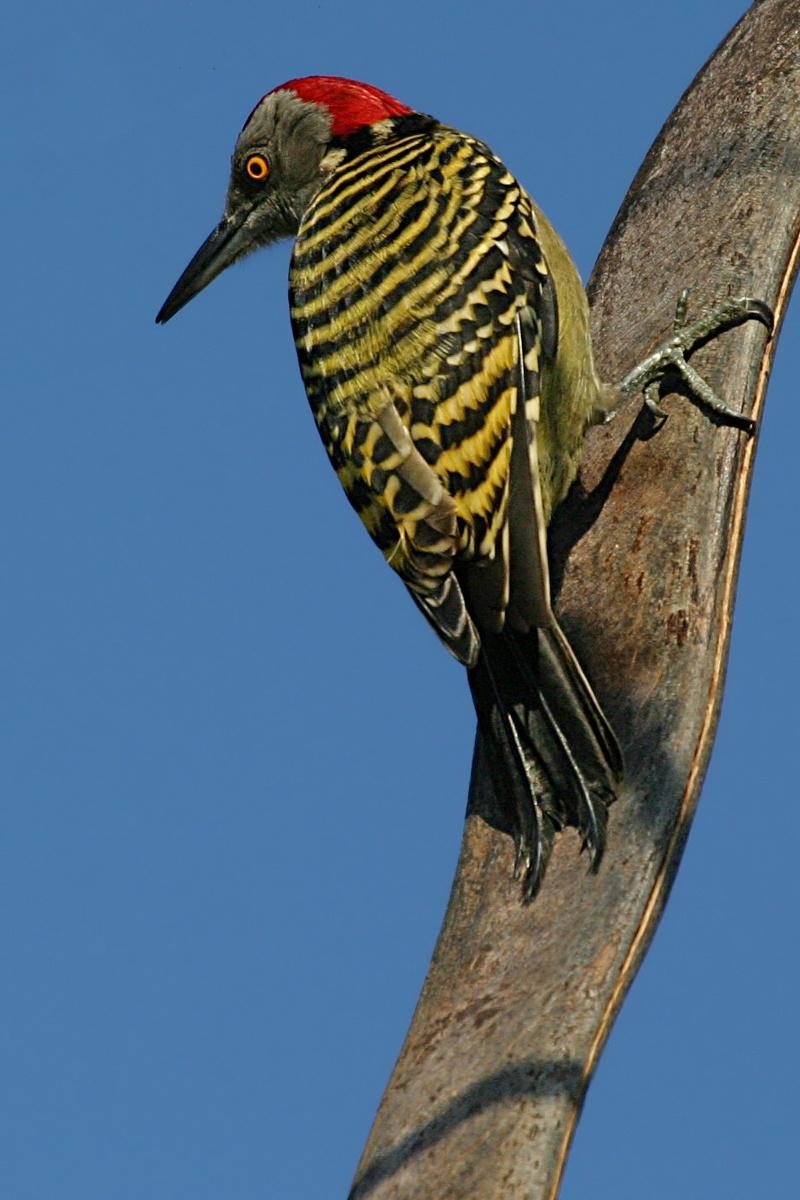 Woodpecker - Wikiwand