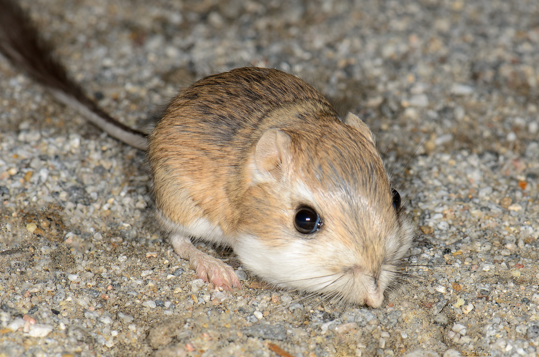 File:Merriam's kangaroo rat (Dipodomys merriami, F ...