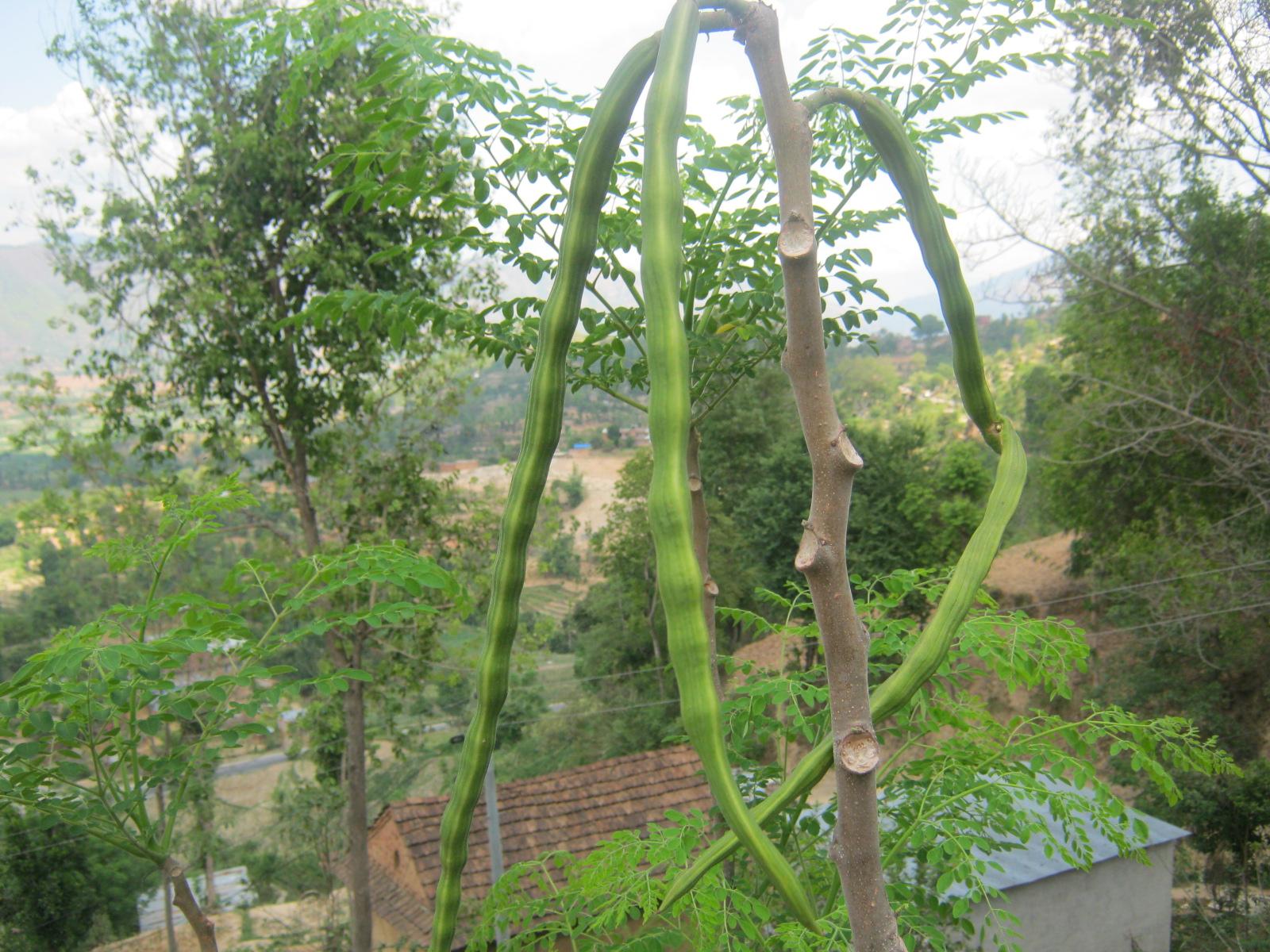 Pods of Moringa oleifera in Panchkhal, Nepal