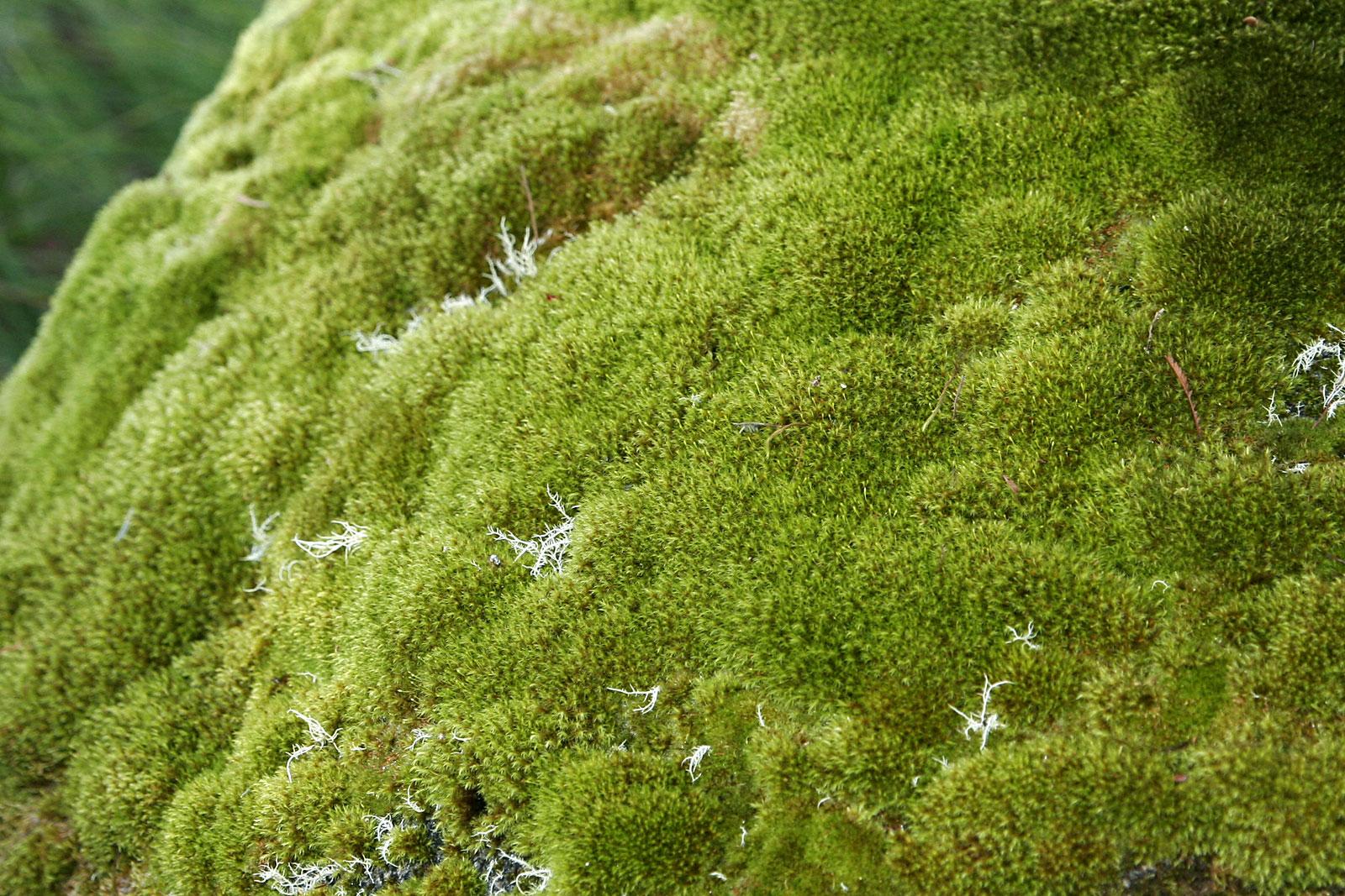 File:Moss.jpg - Wikimedia Commons