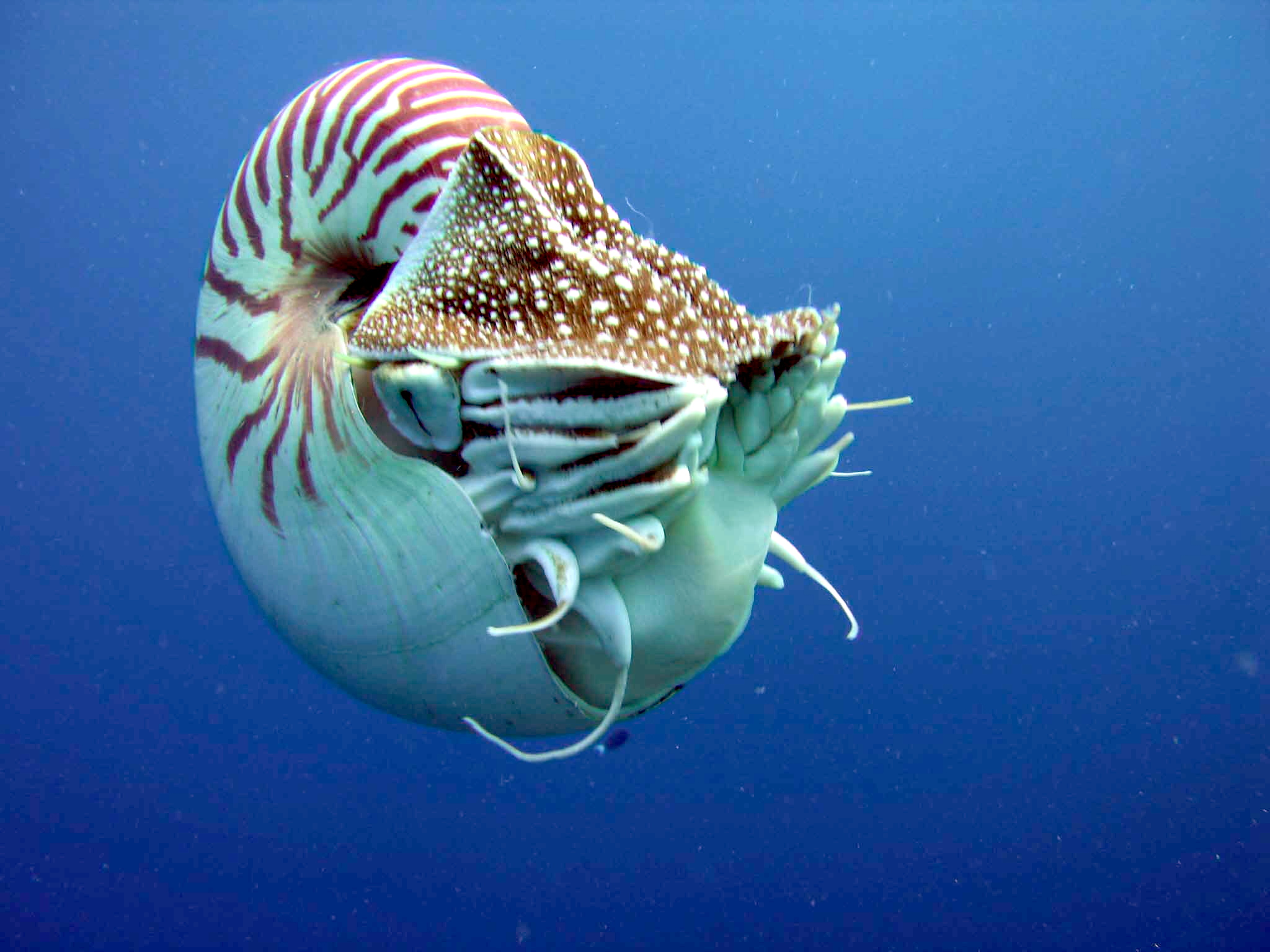 Side view of chambered nautilus showing pinhole eye, tentacles, shell, operculum, and siphon