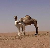 Northern Niger camel Jan 2008