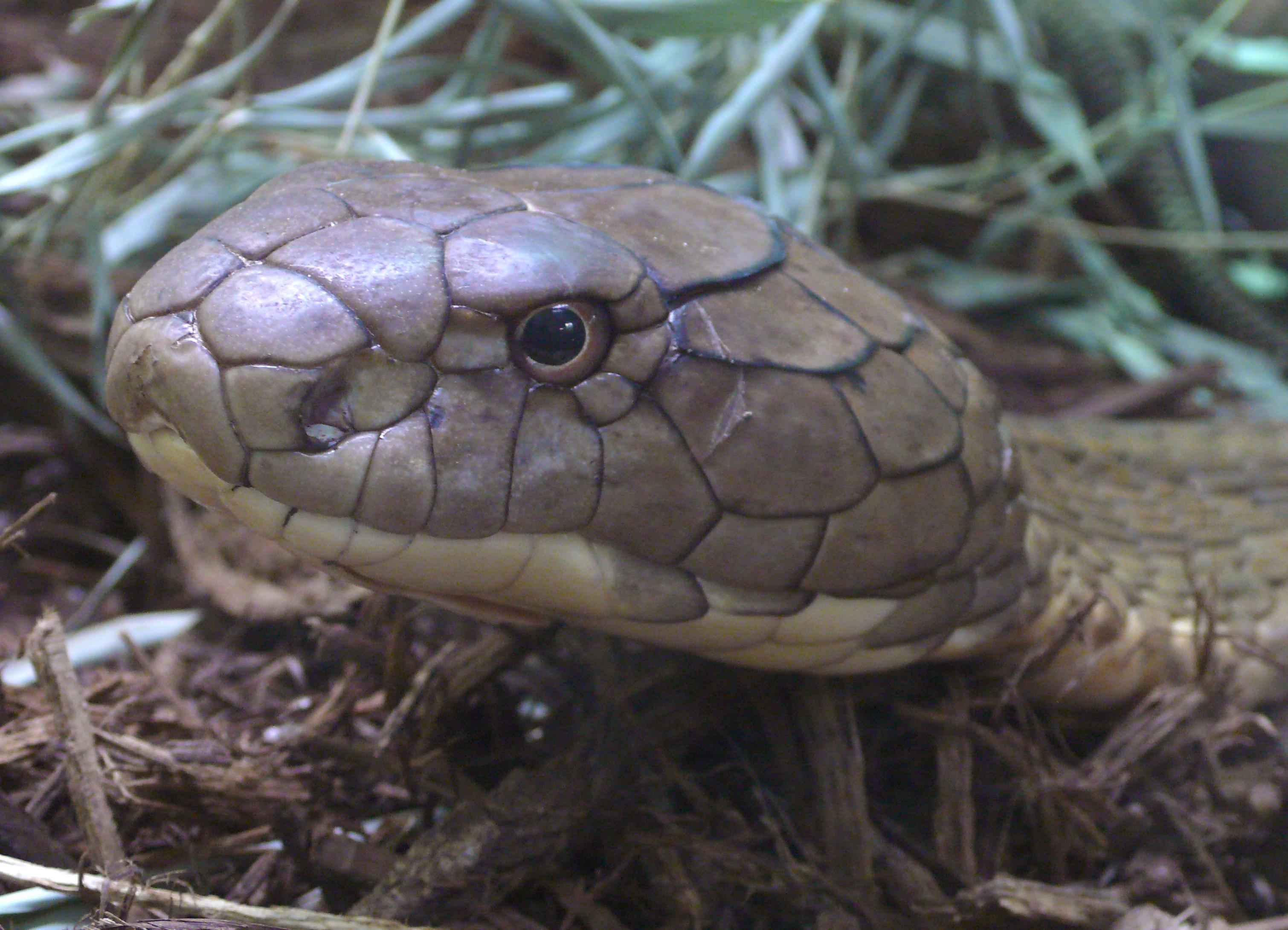 File:Ophiophagus hannah head (4).jpg - Wikimedia Commons