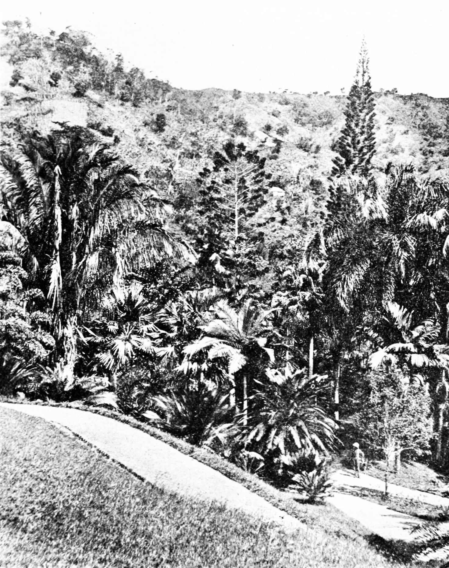 PSM V86 D051 Castleton garden with cycads palms and araucarias.jpg