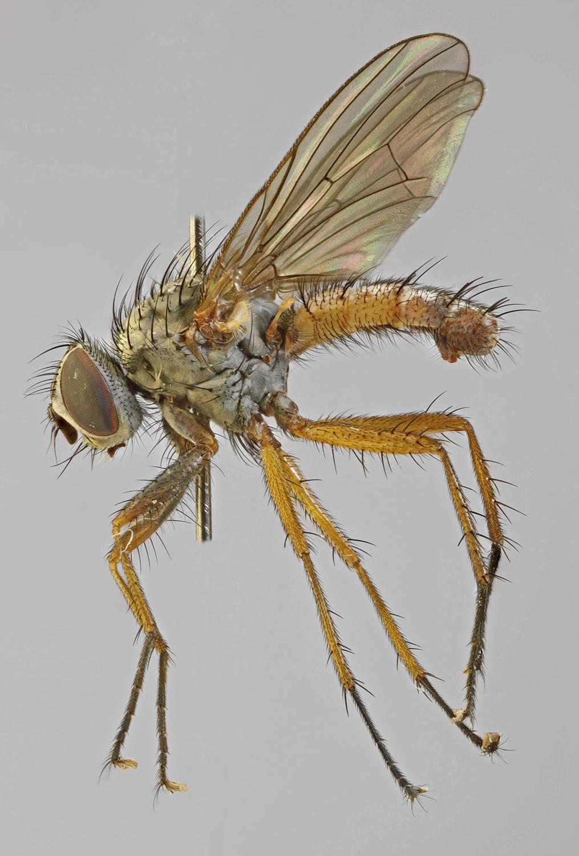 (Family) (Anthomyiidae) - Montana Field Guide