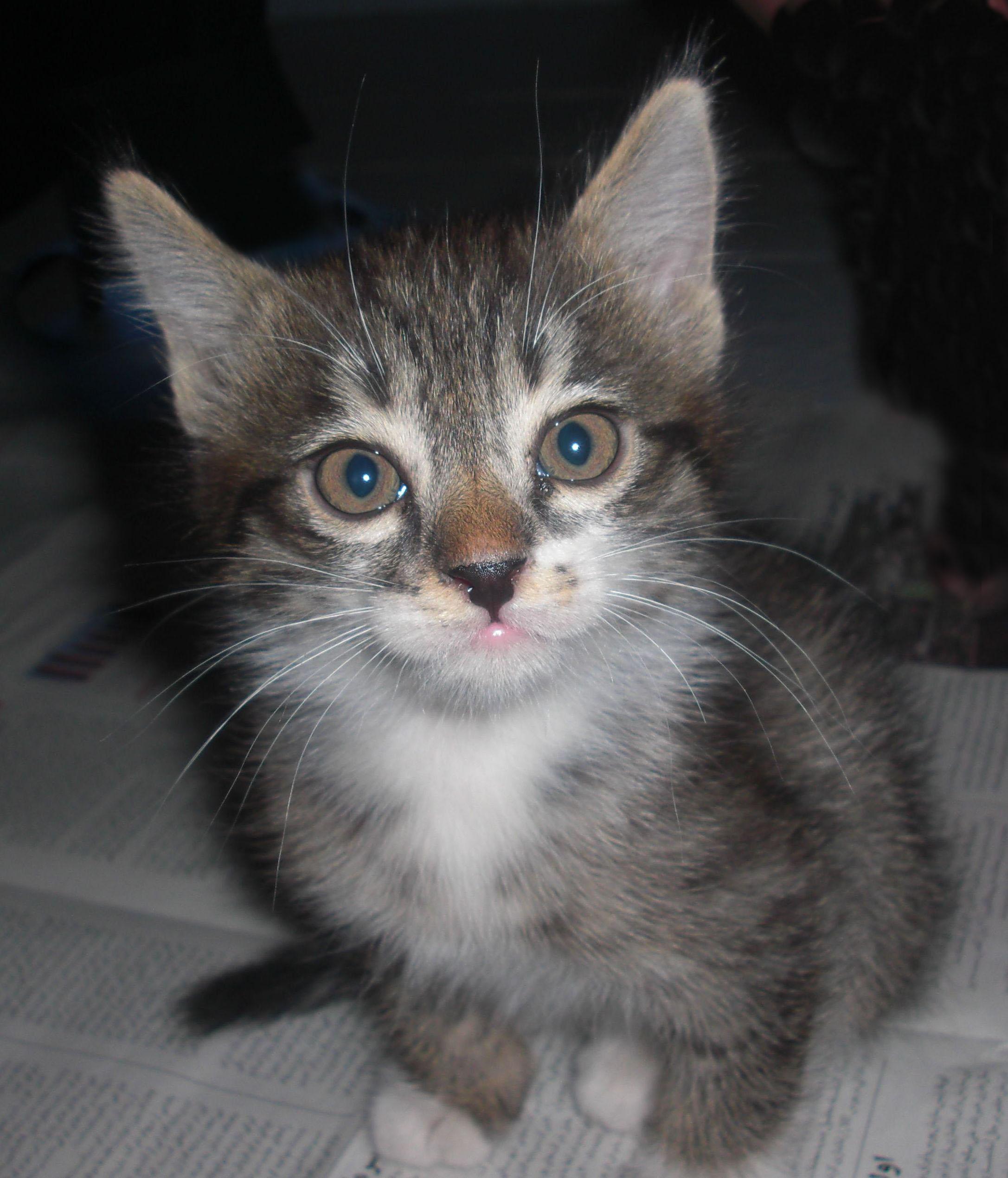 Kot Pręgowany Wikipedia Wolna Encyklopedia
