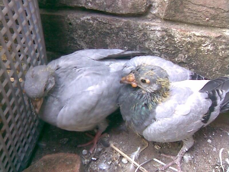Kožní neštovice holubů