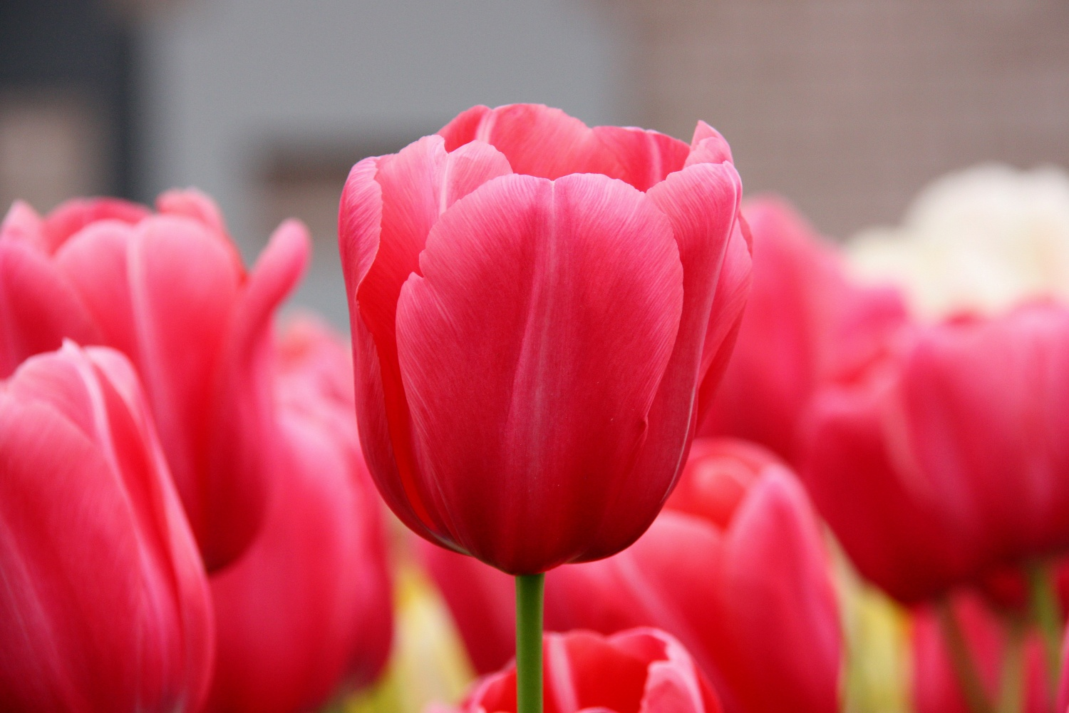 http://upload.wikimedia.org/wikipedia/commons/1/1b/Pink-Tulips-2009.jpg