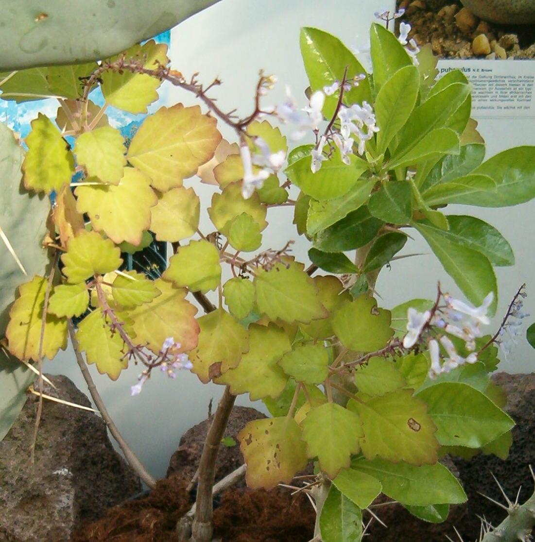 Plectranthus ernstii  Plantz Africa  SANBI