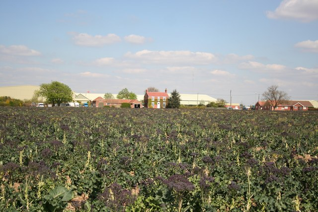 Purple sprouting broccoli - geograph.org.uk - 406041