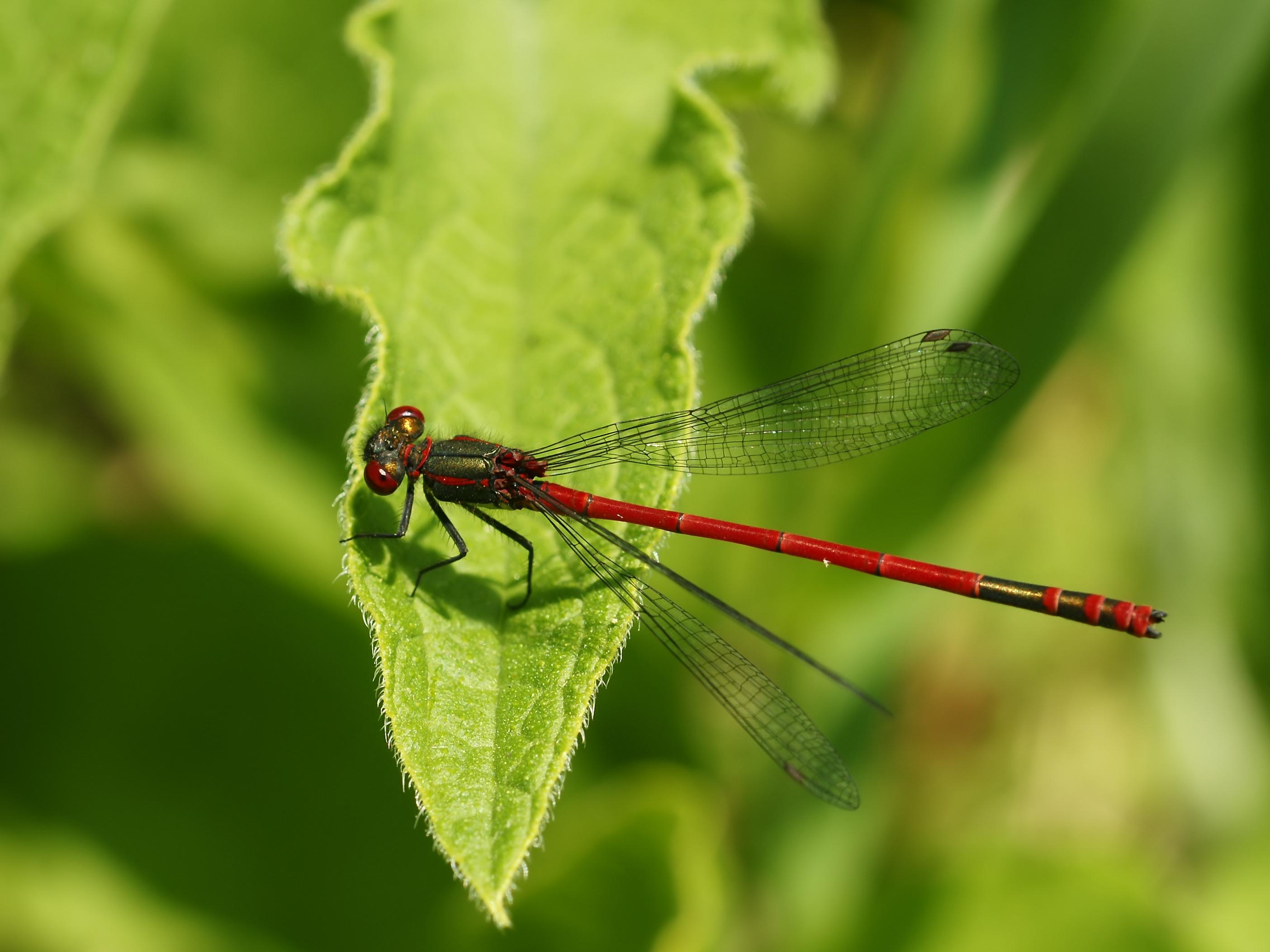 File:Pyrrhosoma nymphula.jpg - Wikimedia Commons