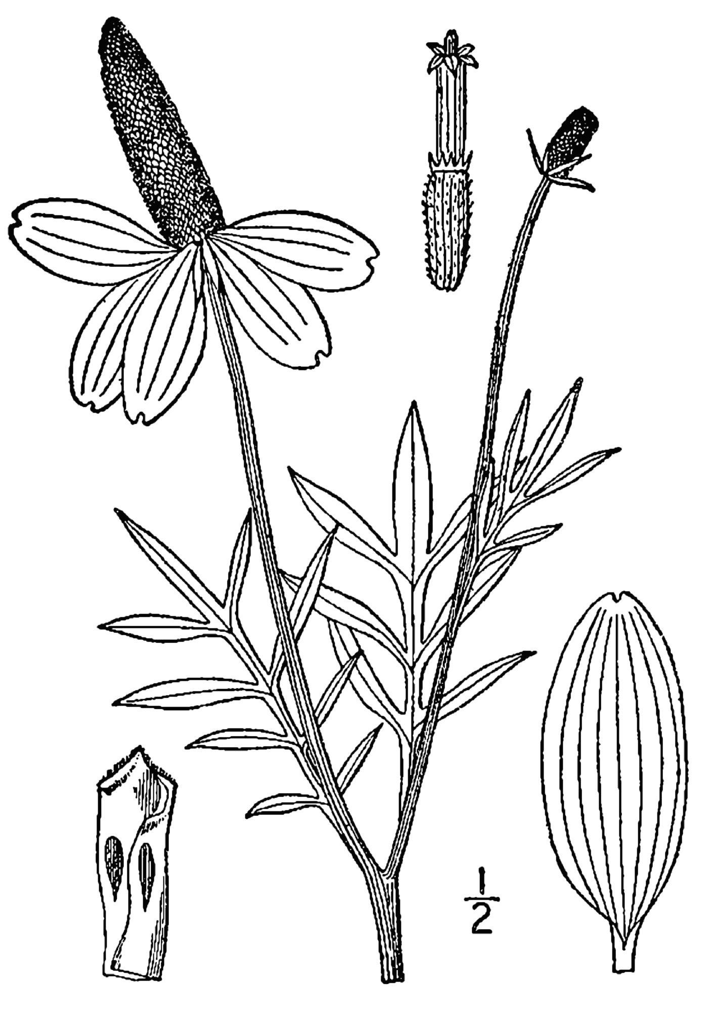Line Drawing Coneflower : File ratibida columnifera linedrawing wikimedia commons