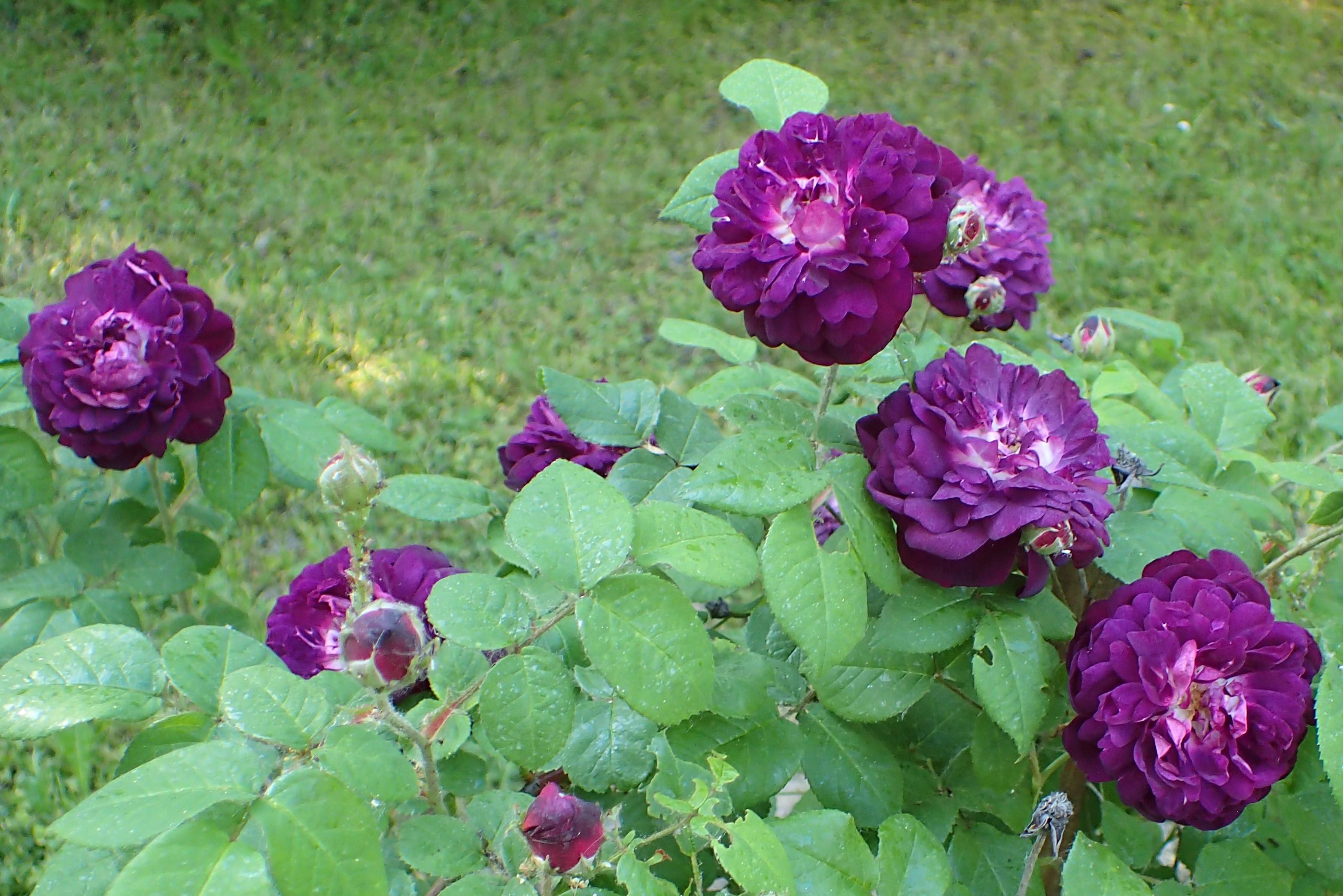 File Rosa Cardinal De Richelieu Kz01 Jpg Wikimedia Commons