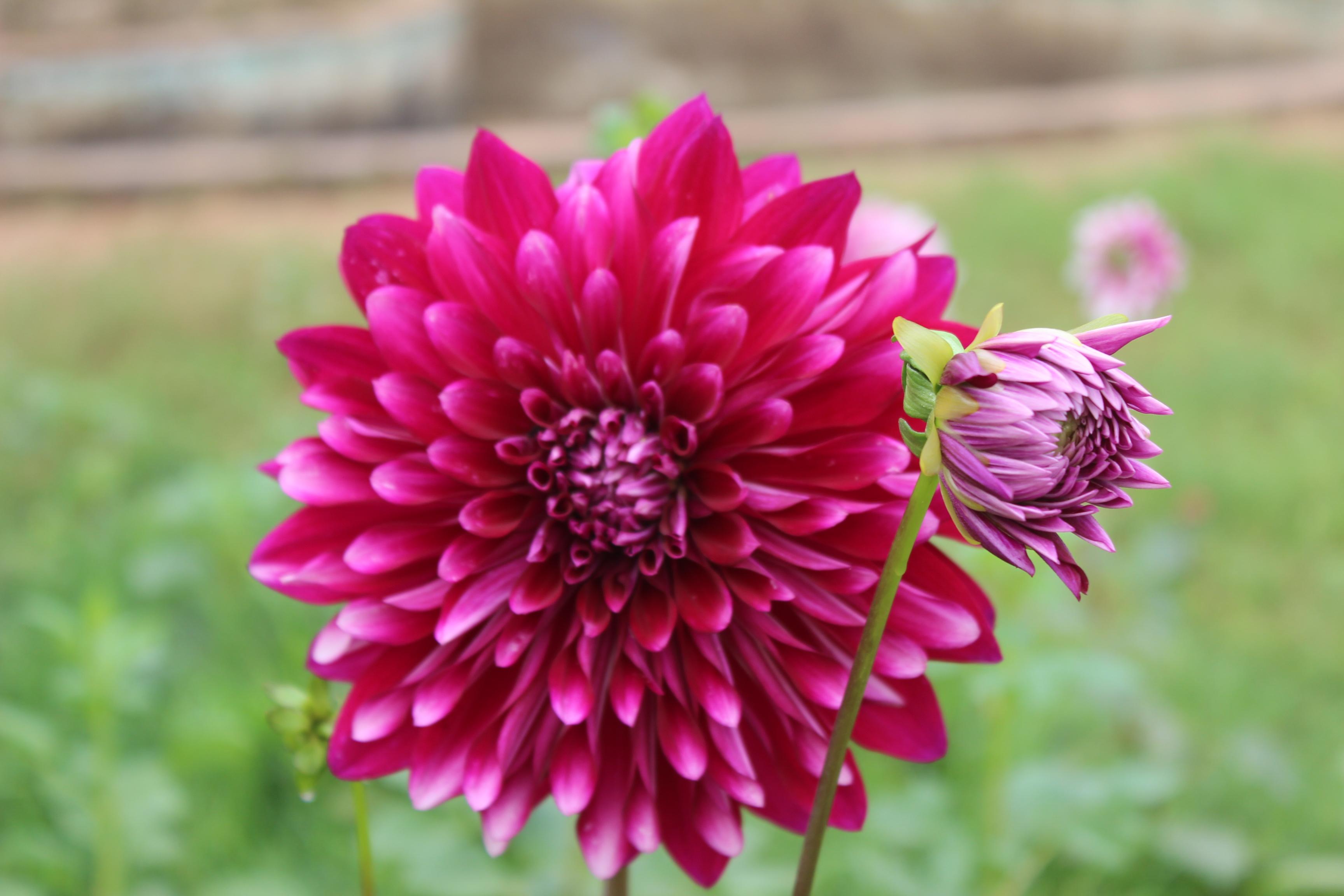 Filespectacular garden flower dahliag wikimedia commons filespectacular garden flower dahliag izmirmasajfo