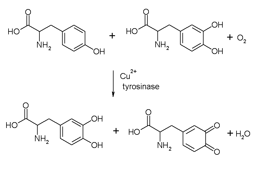 File:Tyrosinase reaction.PNG - Wikimedia Commons