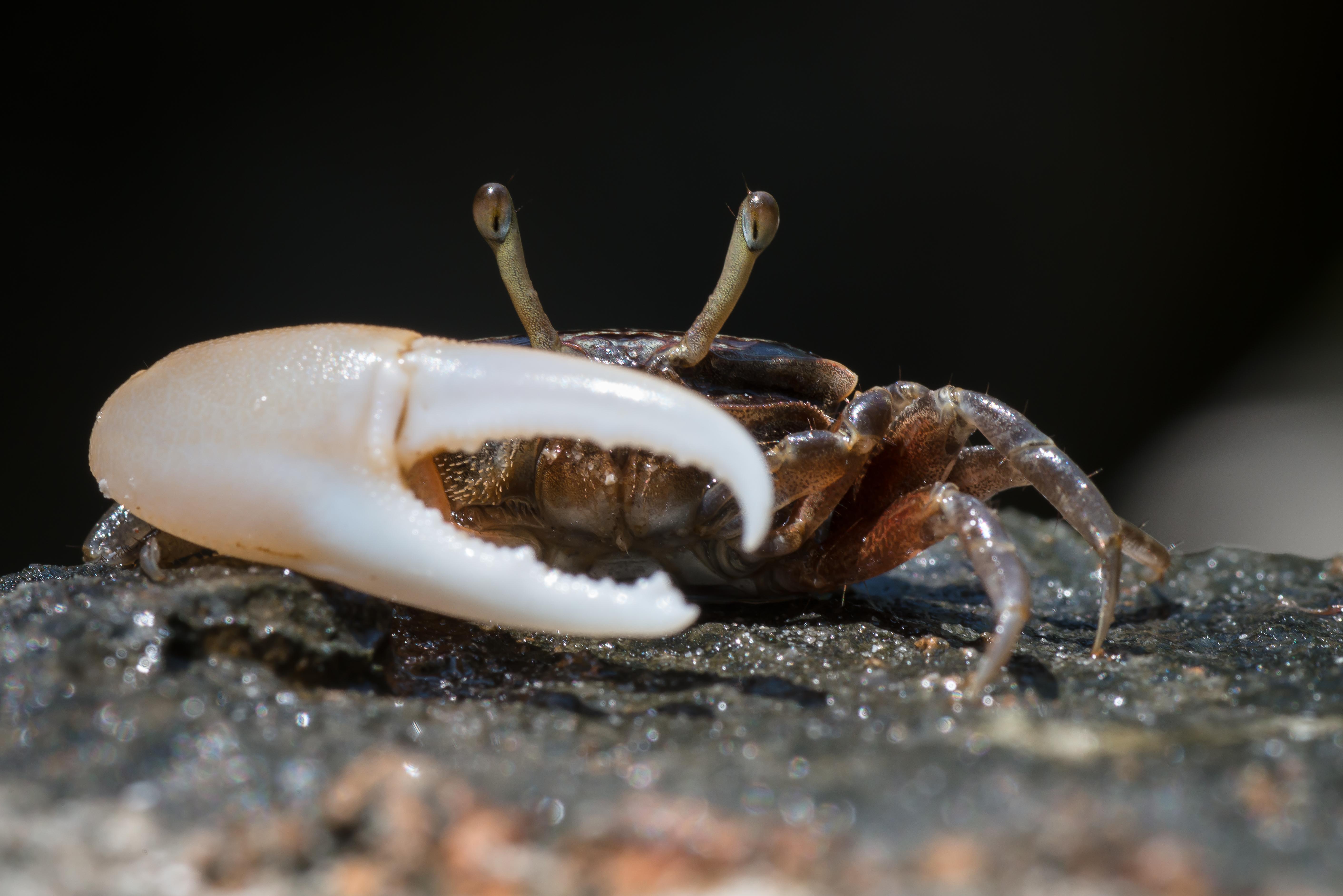 Fiddler crab eggs