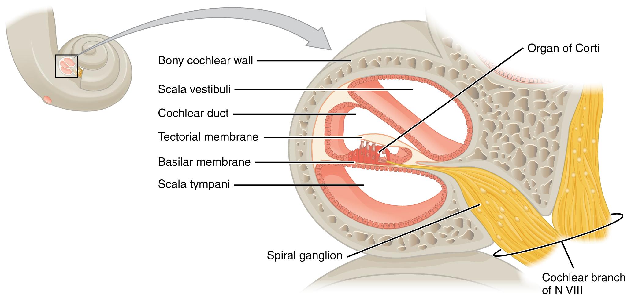 Description 1406 Cochlea jpgInner Ear Cochlea Anatomy