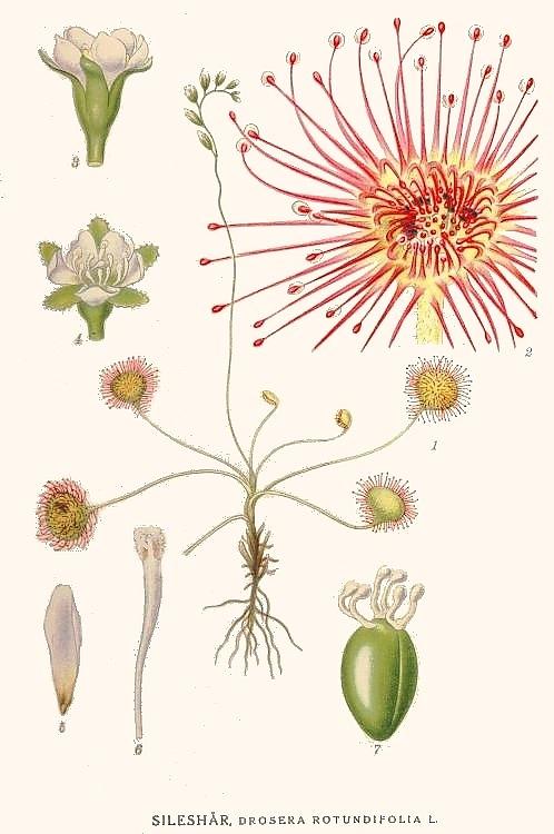 Gpm/Drosera rotundifolia - Viquillibres