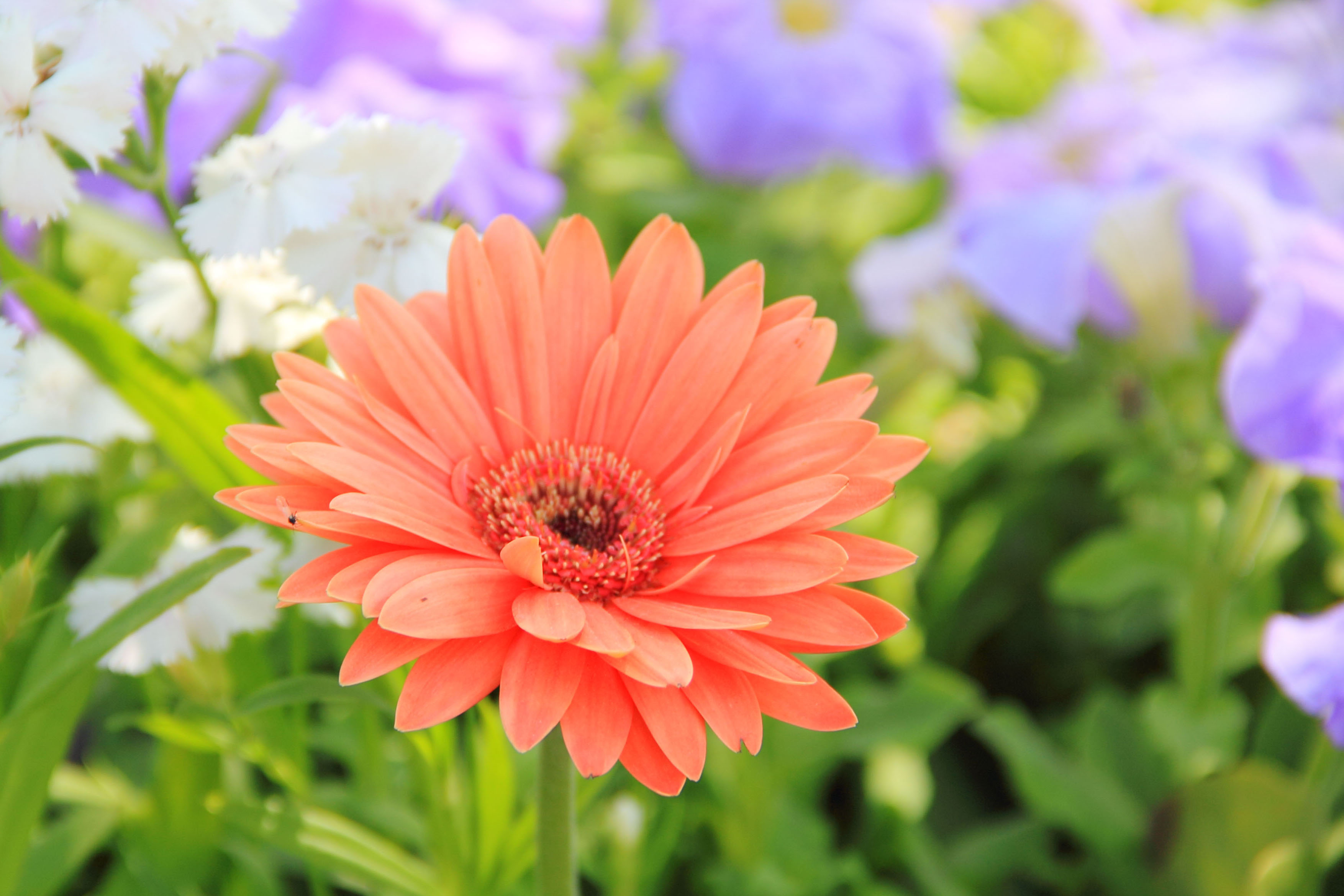 best daisy flower images on, Beautiful flower