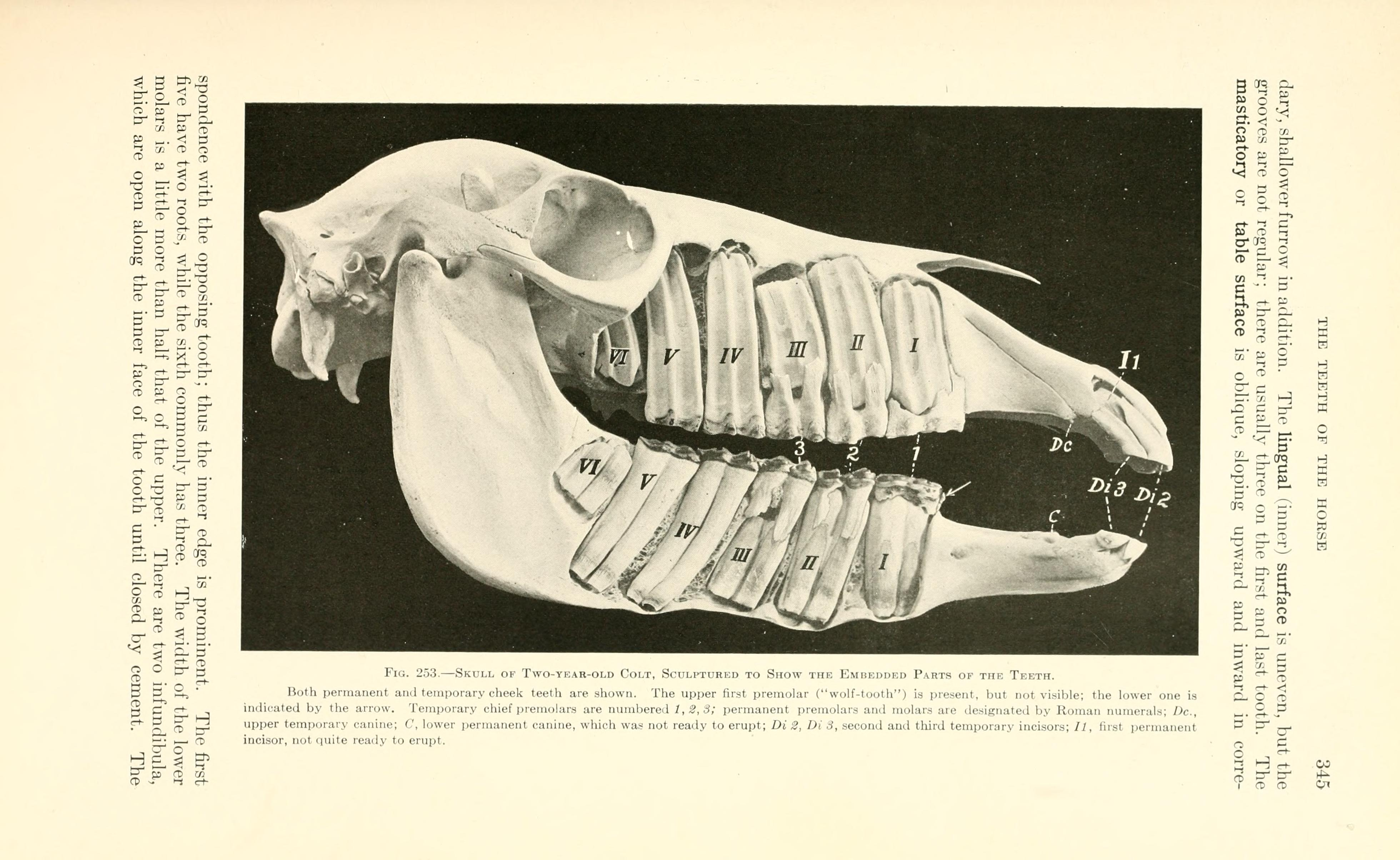 Filea Text Book Of Veterinary Anatomy Page 345 Bhl18587469g