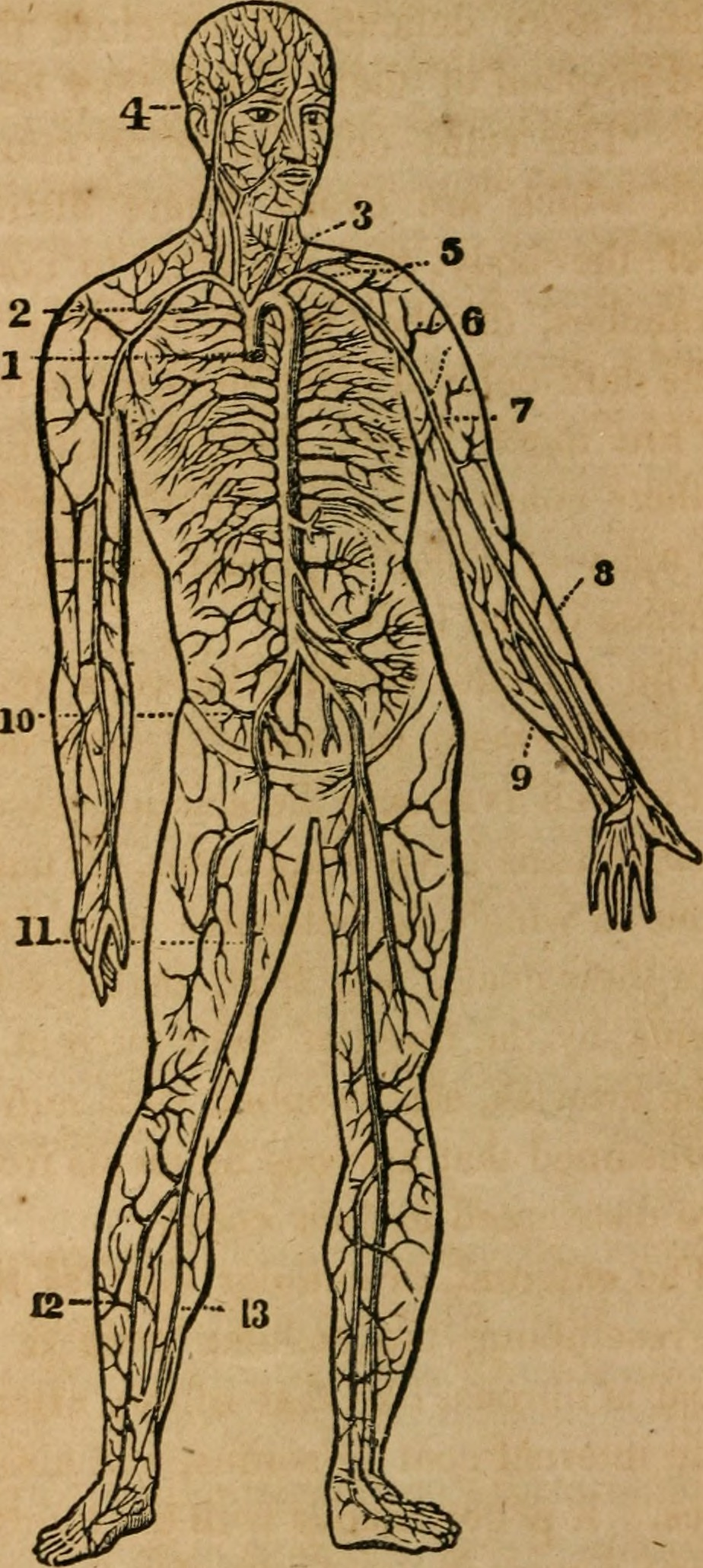 File:A treatise on anatomy, physiology and hygiene - designed for ...