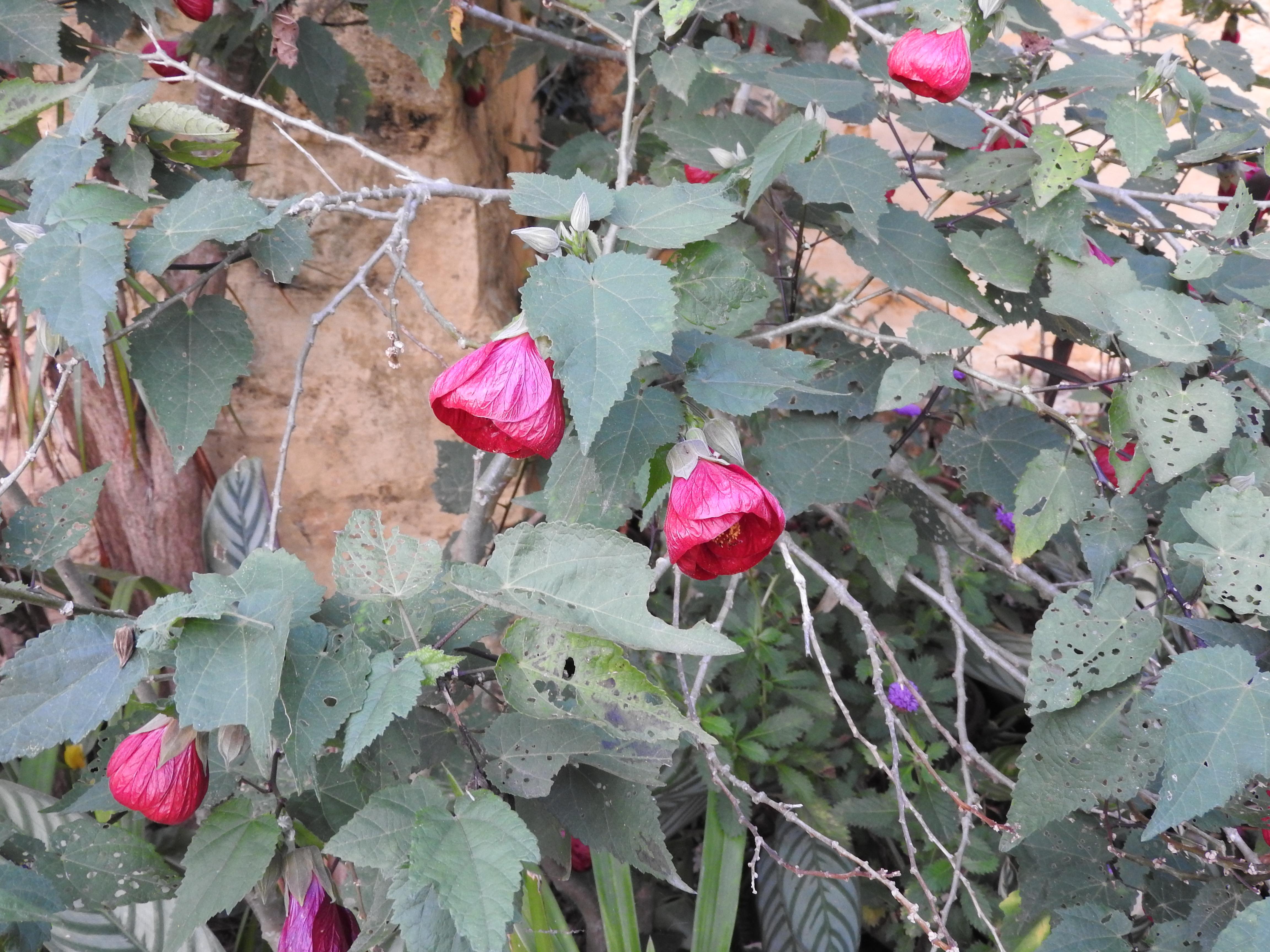 Fileabutilon Hybridum Nabob 1 Shevaroy Nursery Yercaud Salem India
