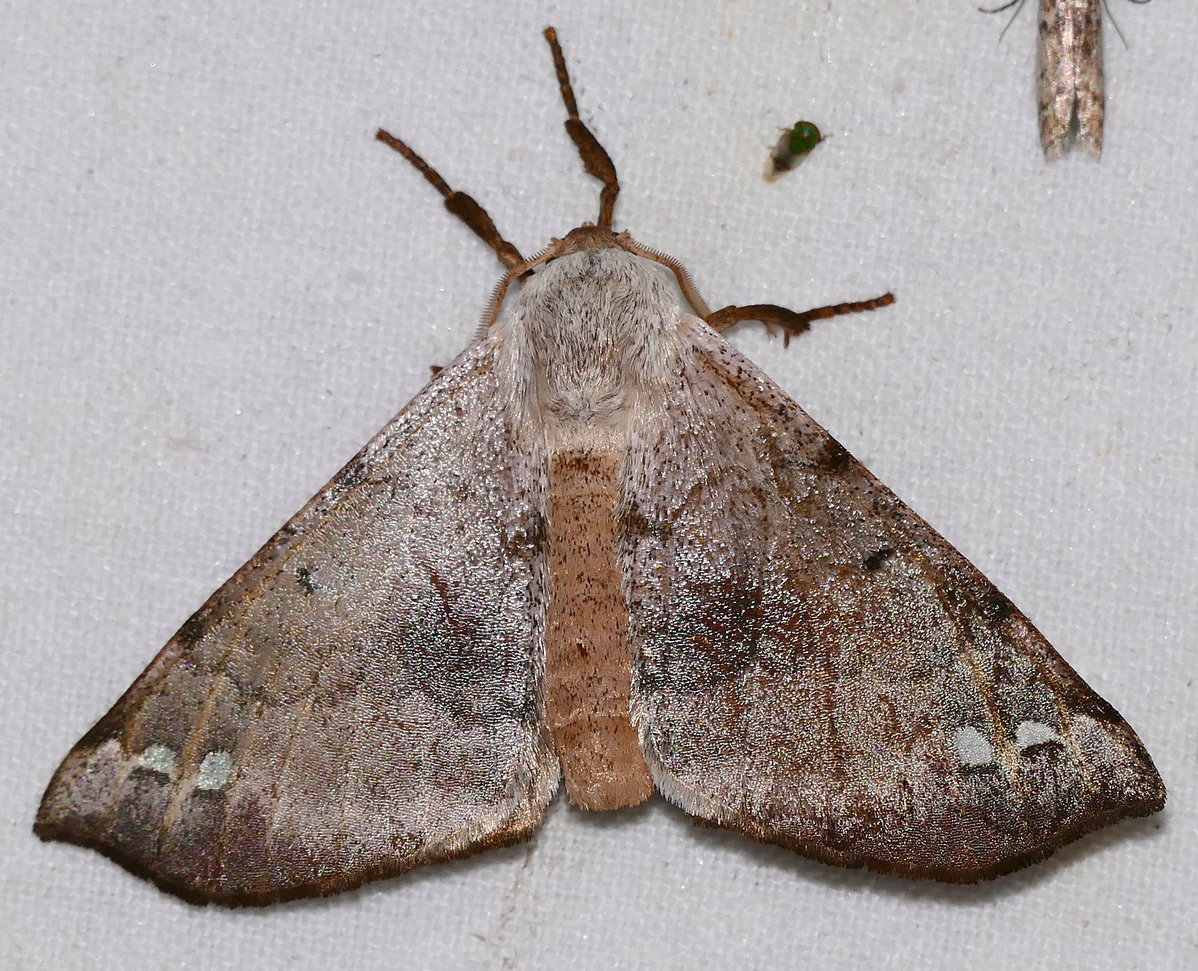 Sưu tập Bộ cánh vẩy  - Page 6 Apatelodid_Moth_%28Apatelodes_anna%29_%2826175179167%29