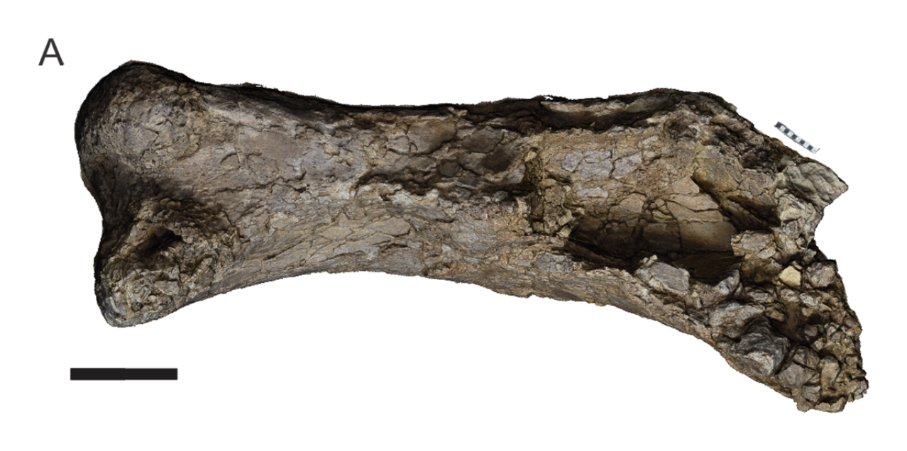 Right femur of the holotype