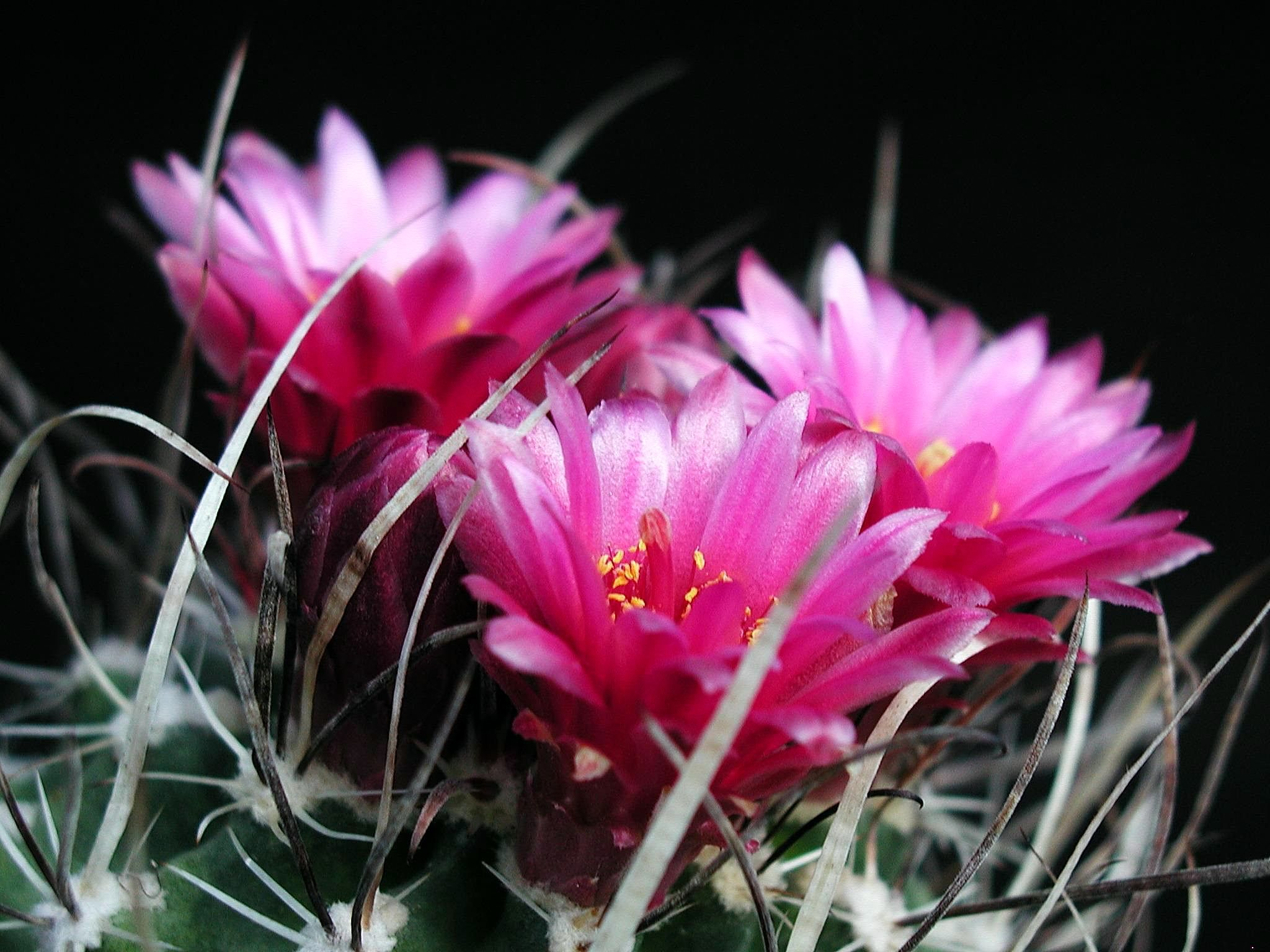 Filebarbed Cactus With Flowersg Wikimedia Commons