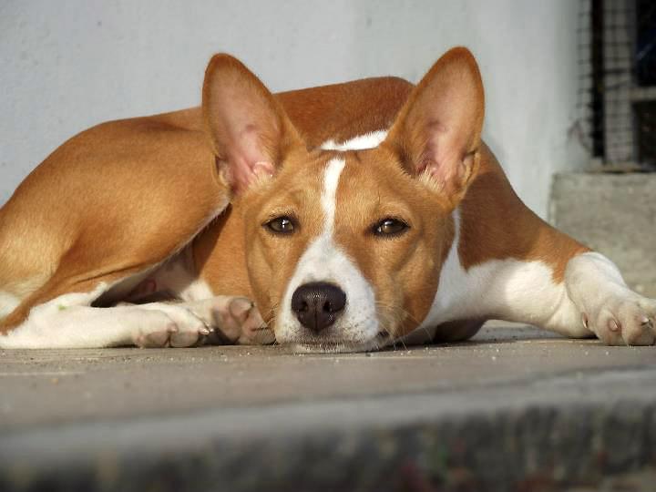 Perro Basenji tiene una esperanza de vida de 11 a 12 años