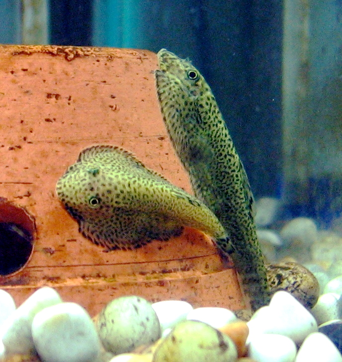 These Hillstream Loaches are small, cool water fish that can live with goldfish