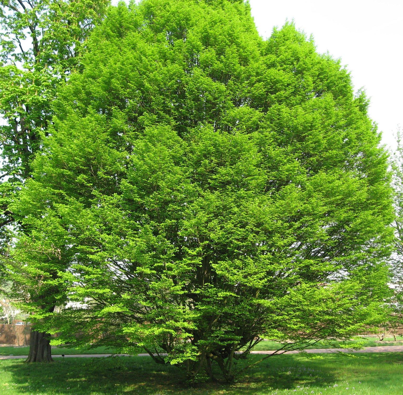 Jour du Charme - 1er avril dans fête du jour Carpinus_betulus_%27Fastigiata%27_by_Line1