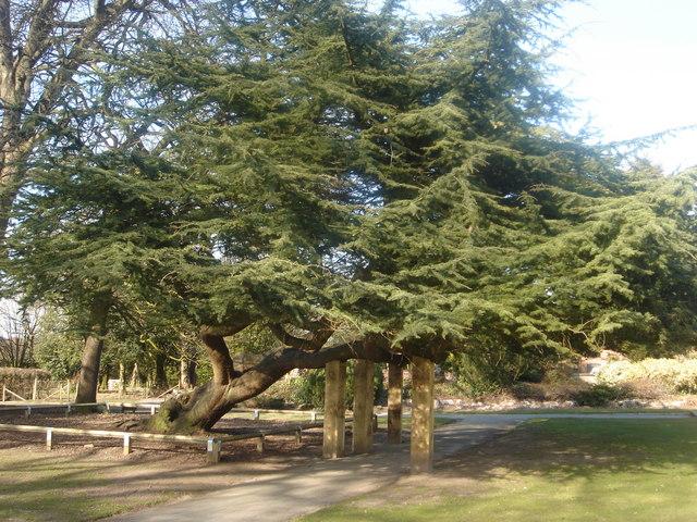 Cedar of Lebanon tree at Worden Hall