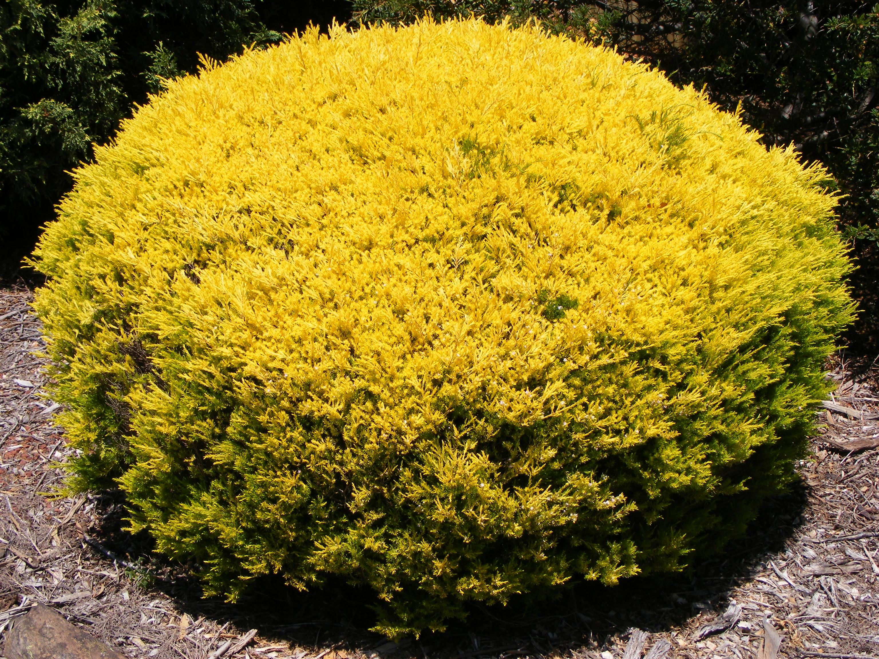 Coleonema pulchrum sunset gold - Coleonema Pulchrum Sunset Gold 51