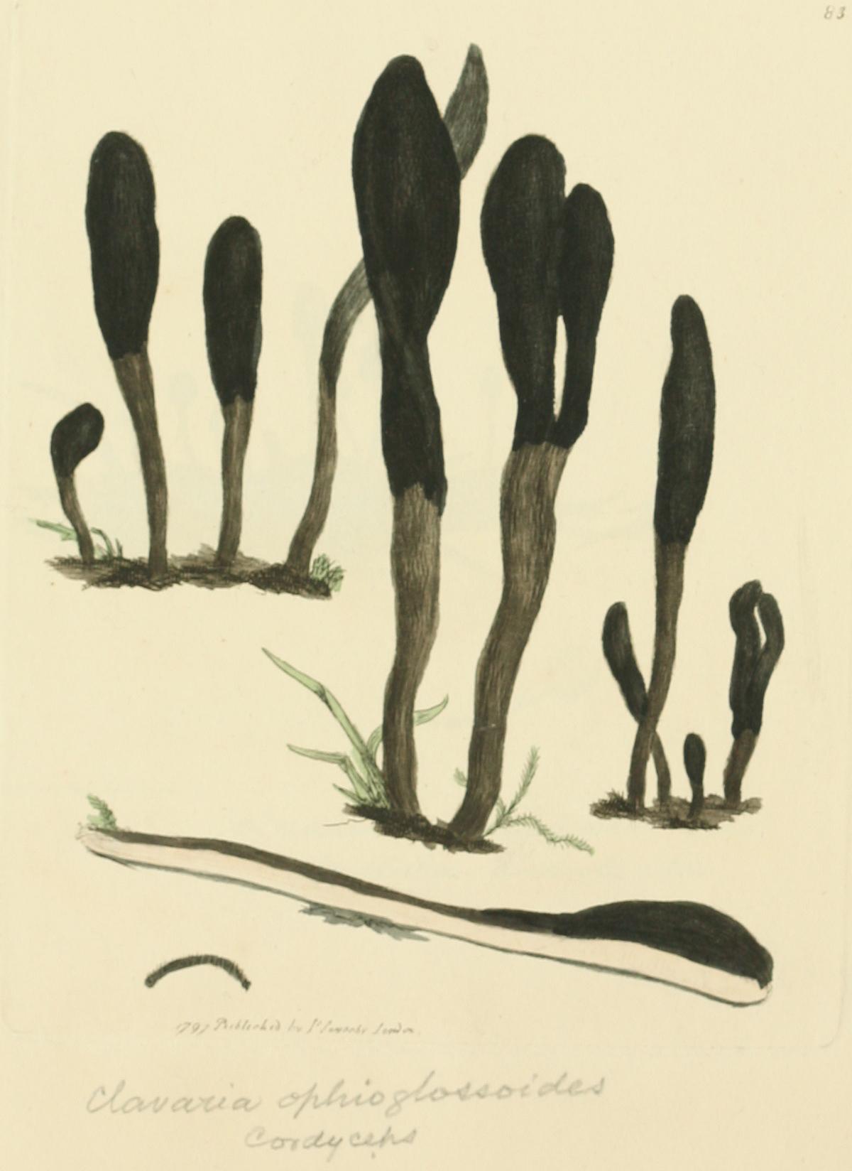 Coloured Figures of English Fungi or Mushrooms